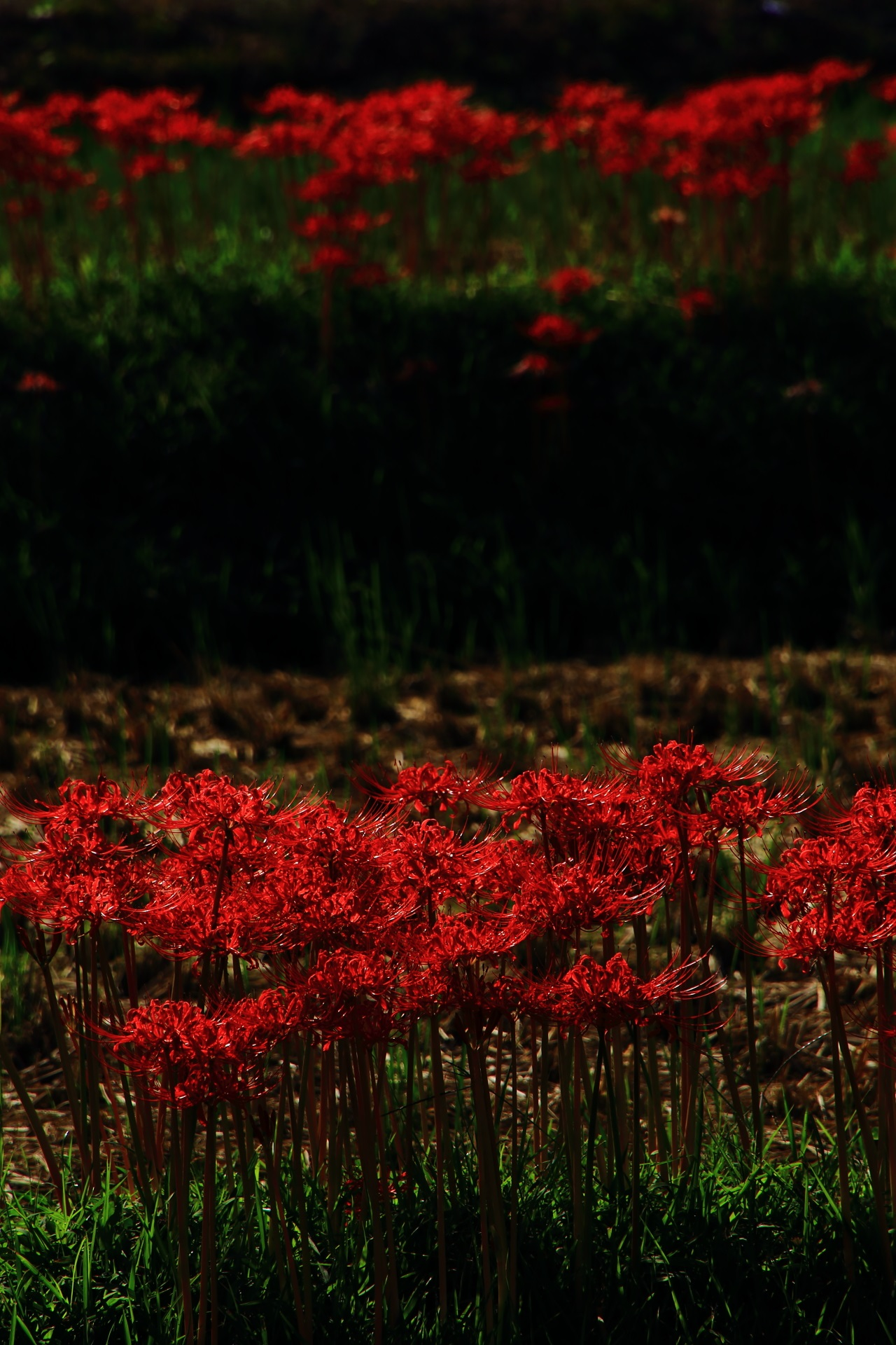 Sagano in Kyoto, famous for cluster amaryllis