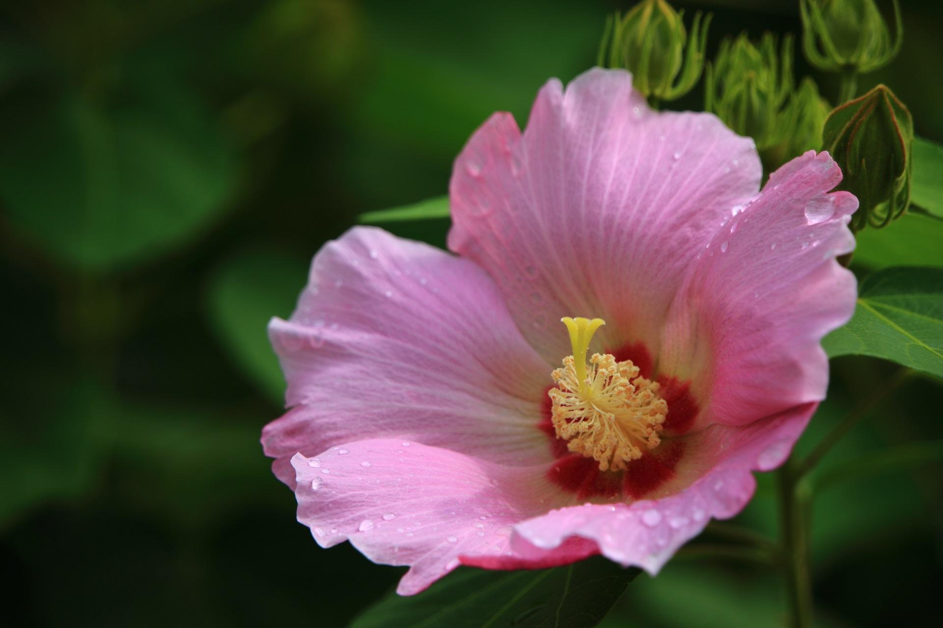 雨に濡れた妙蓮寺の芙蓉の花