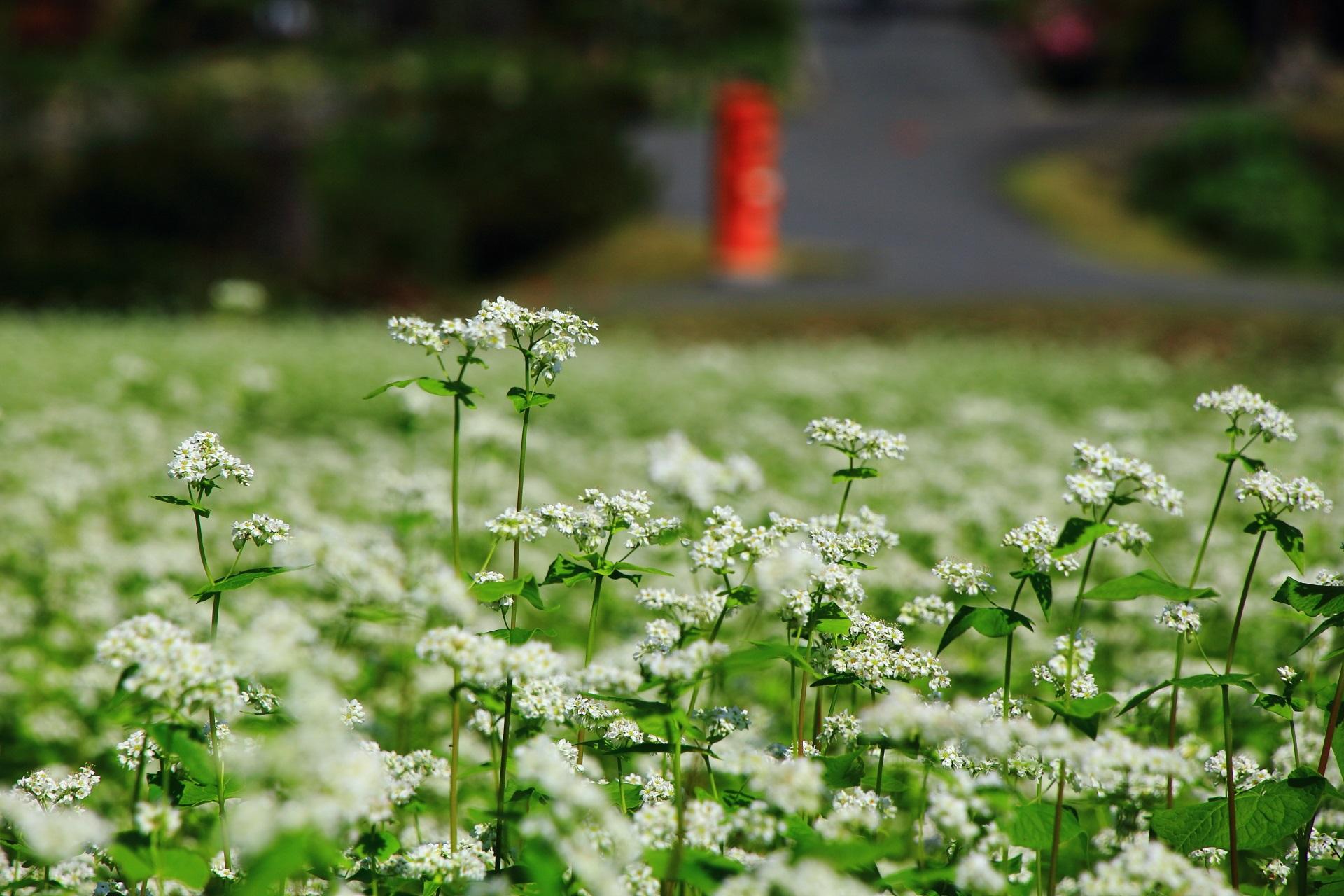 白く可憐な蕎麦(そば)の花と後ろに見える赤いポスト