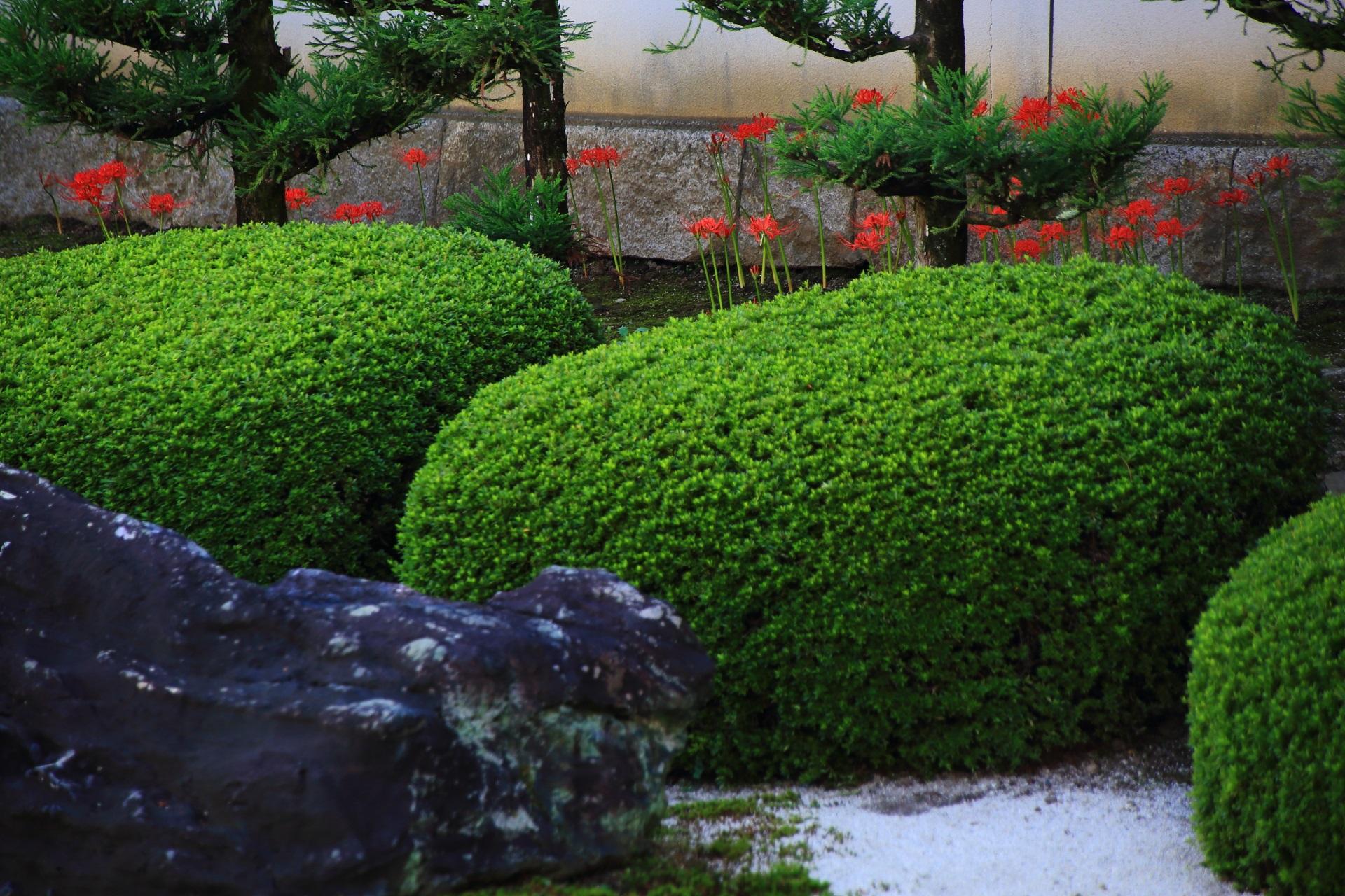 妙蓮寺の緑のサツキの刈り込みの後ろから顔を出す赤い彼岸花