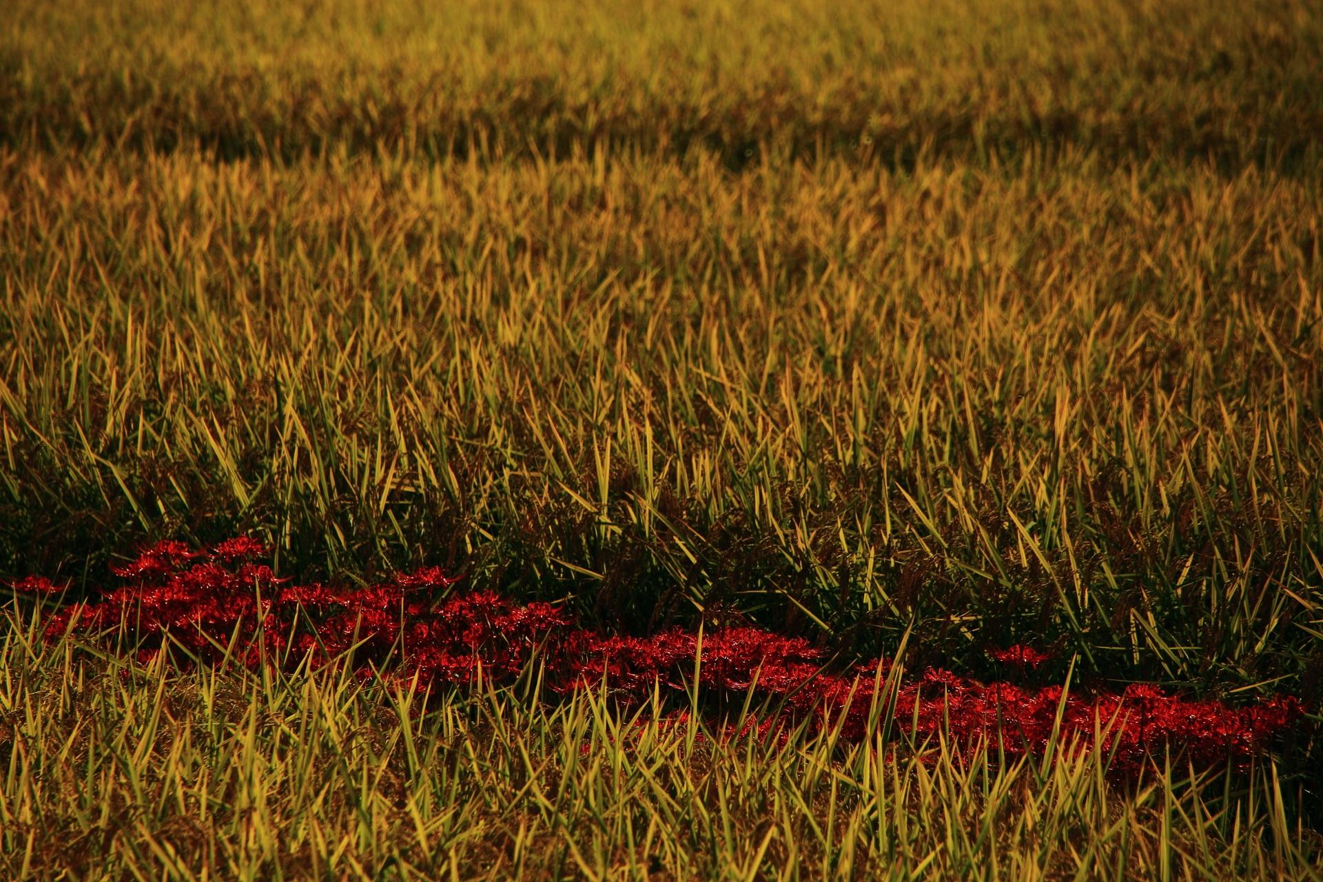 金色や錦に染まる秋の収穫前の田んぼや稲穂