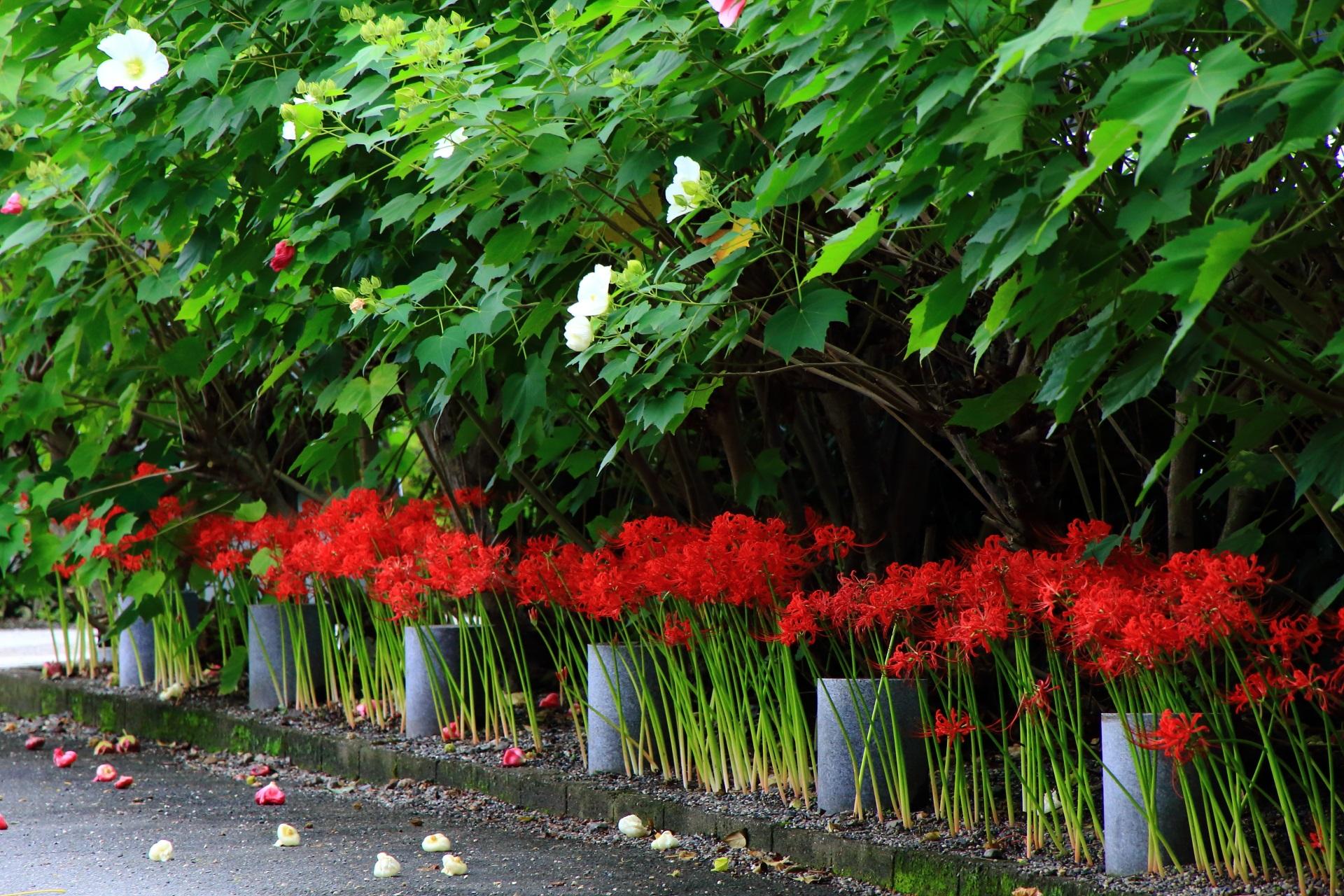 妙蓮寺の本堂と鐘楼前の彼岸花(ひがんばな)