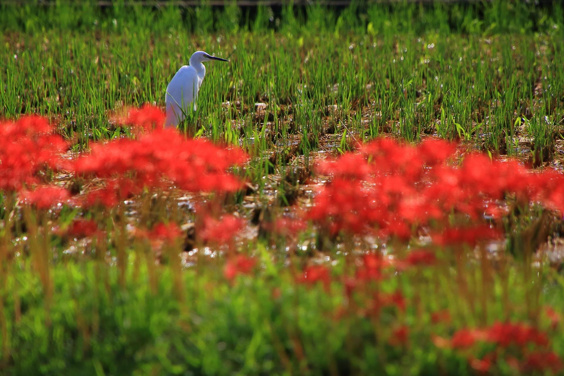 北嵯峨の白鷺と彼岸花