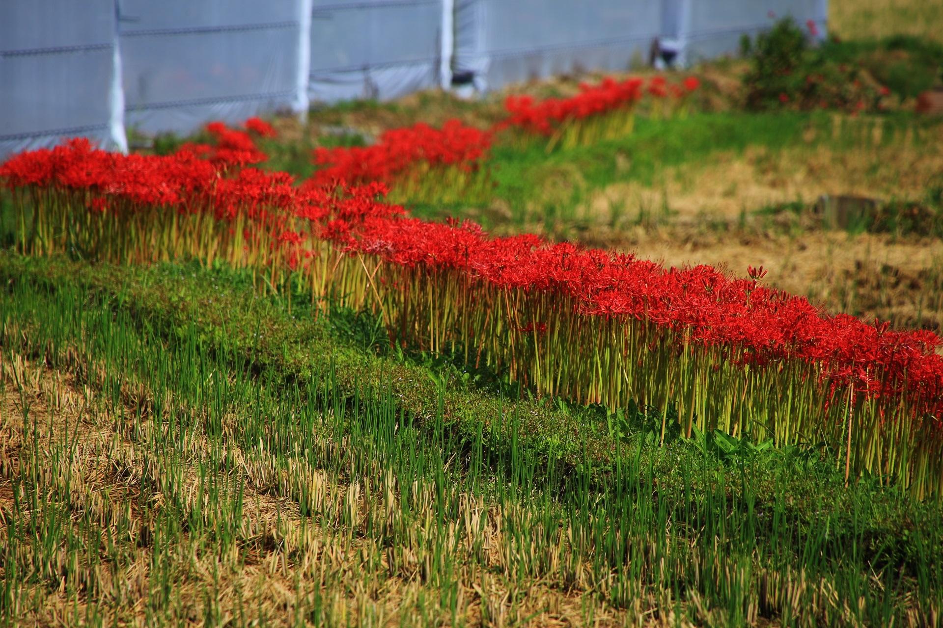 嵯峨野の田んぼや畑の周辺やあぜ道に咲く彼岸花