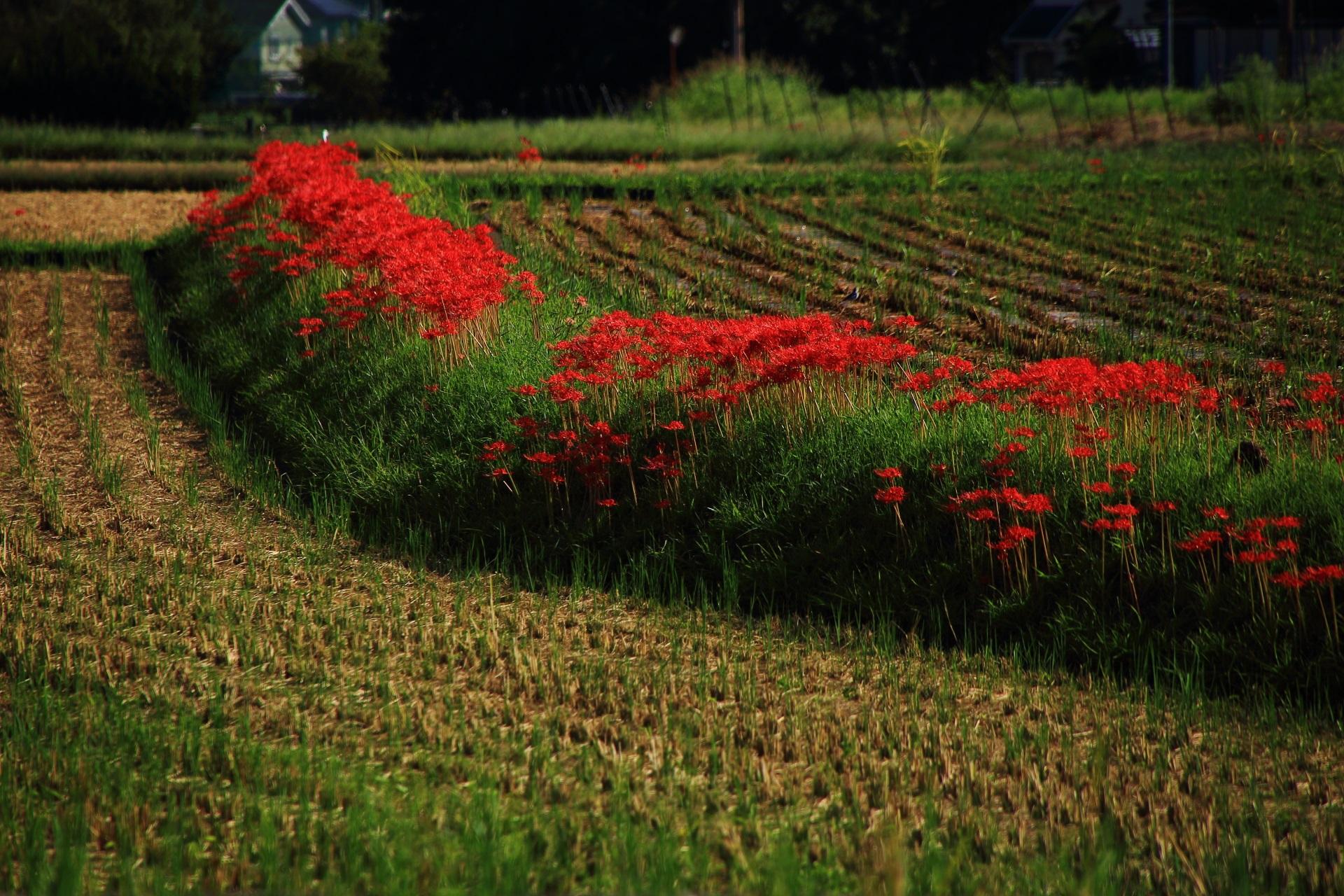 嵯峨野の畑や田んぼにいっぱい咲く彼岸花