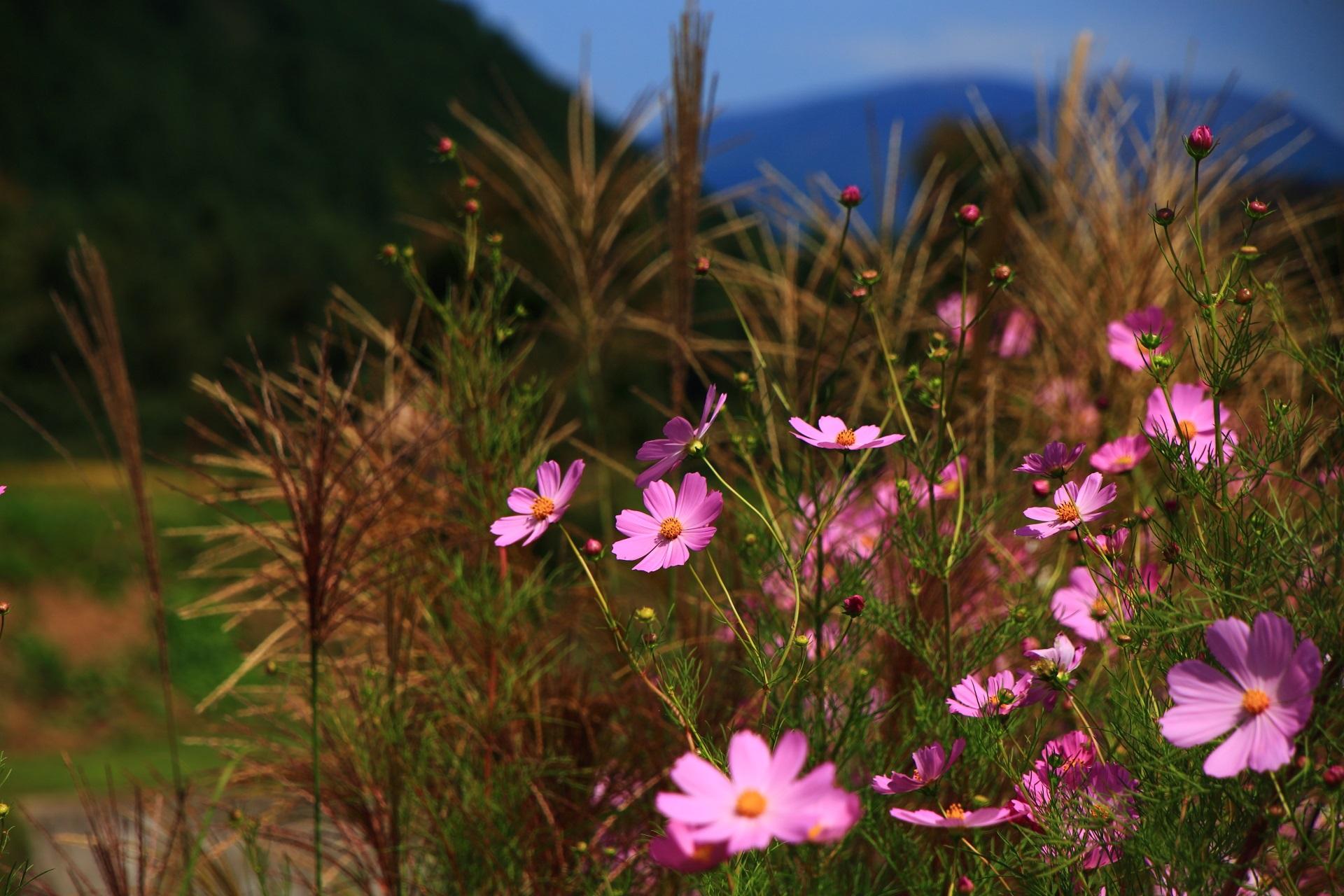風情ある秋の雰囲気がたっぷりの大原のススキとコスモス