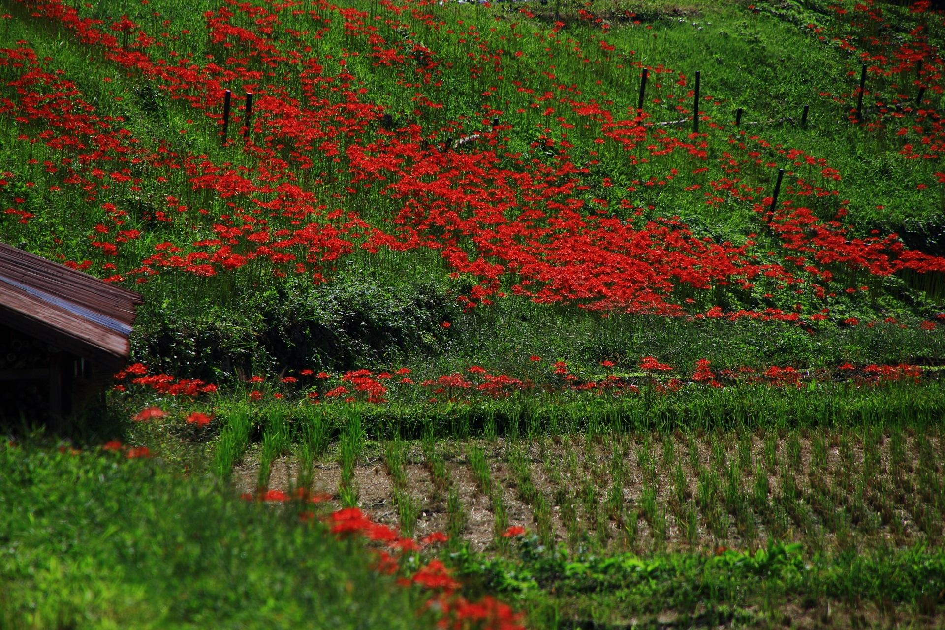 緑の斜面に咲く一面の彼岸花