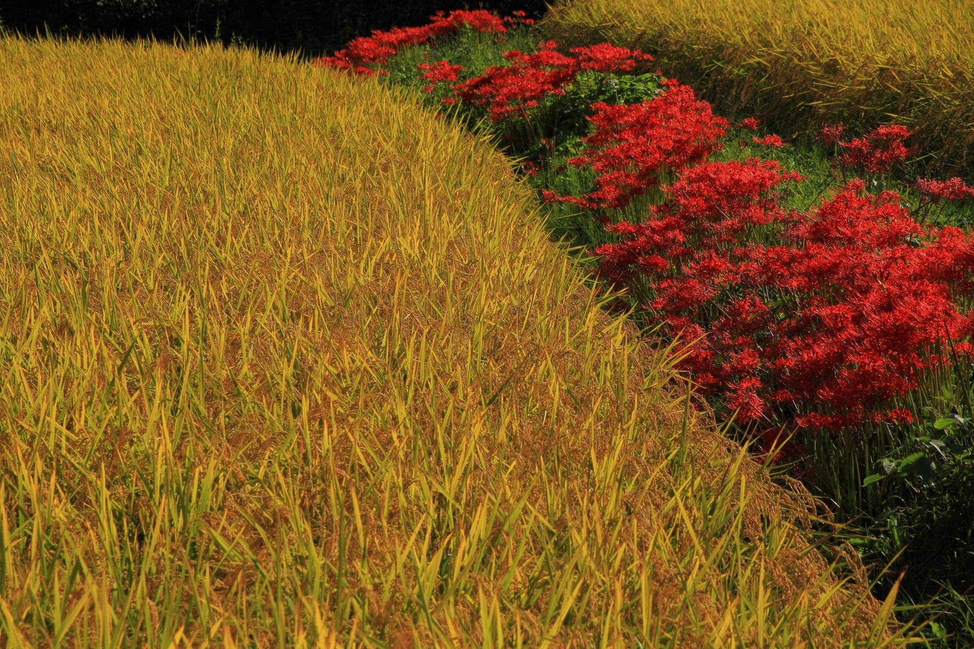 綺麗な錦の田んぼと赤い彼岸花