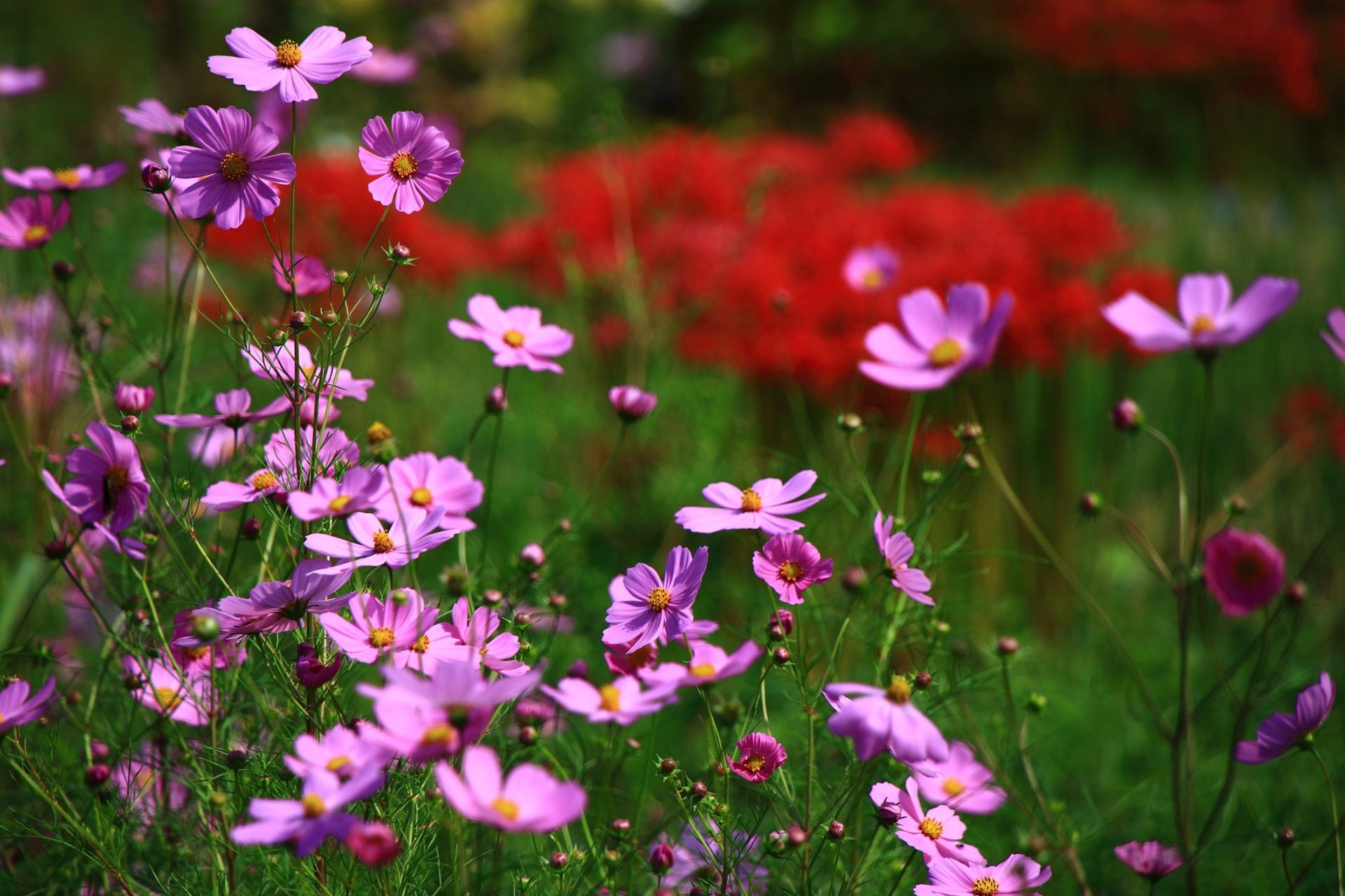 華やかに咲き誇る大原のコスモスと彼岸花