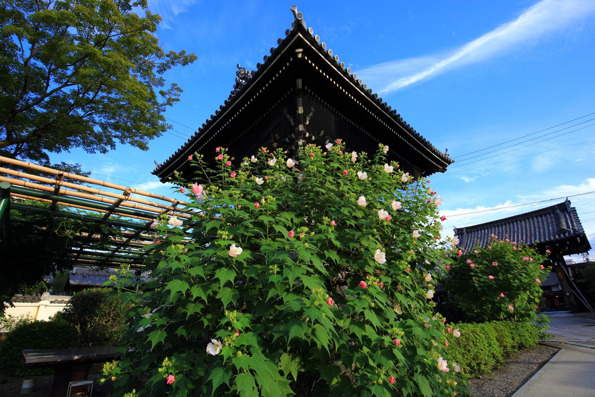 妙蓮寺の鐘楼とまだまだ見ごろの芙蓉の花