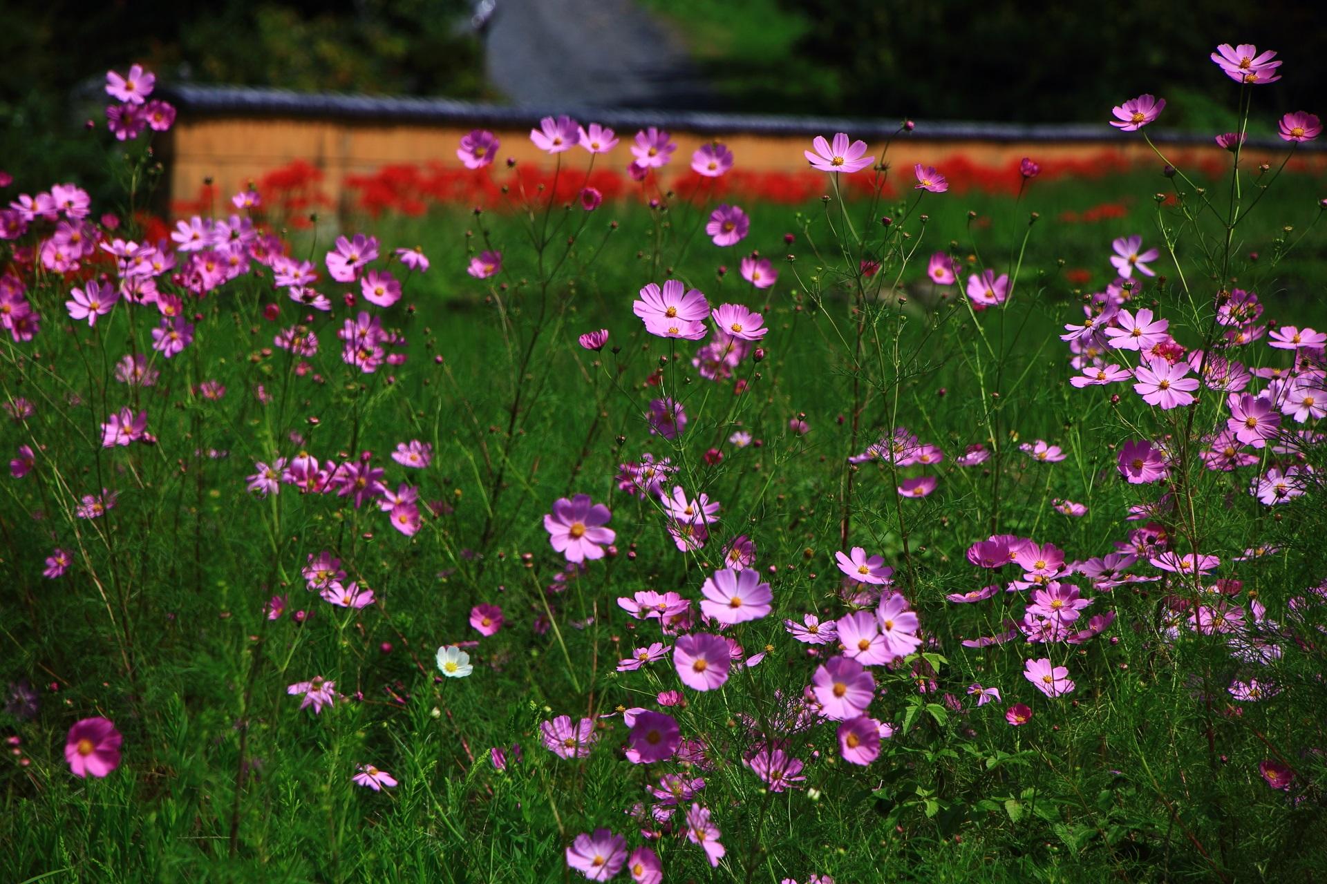 大原の里にたくさん咲く薄紫のコスモス