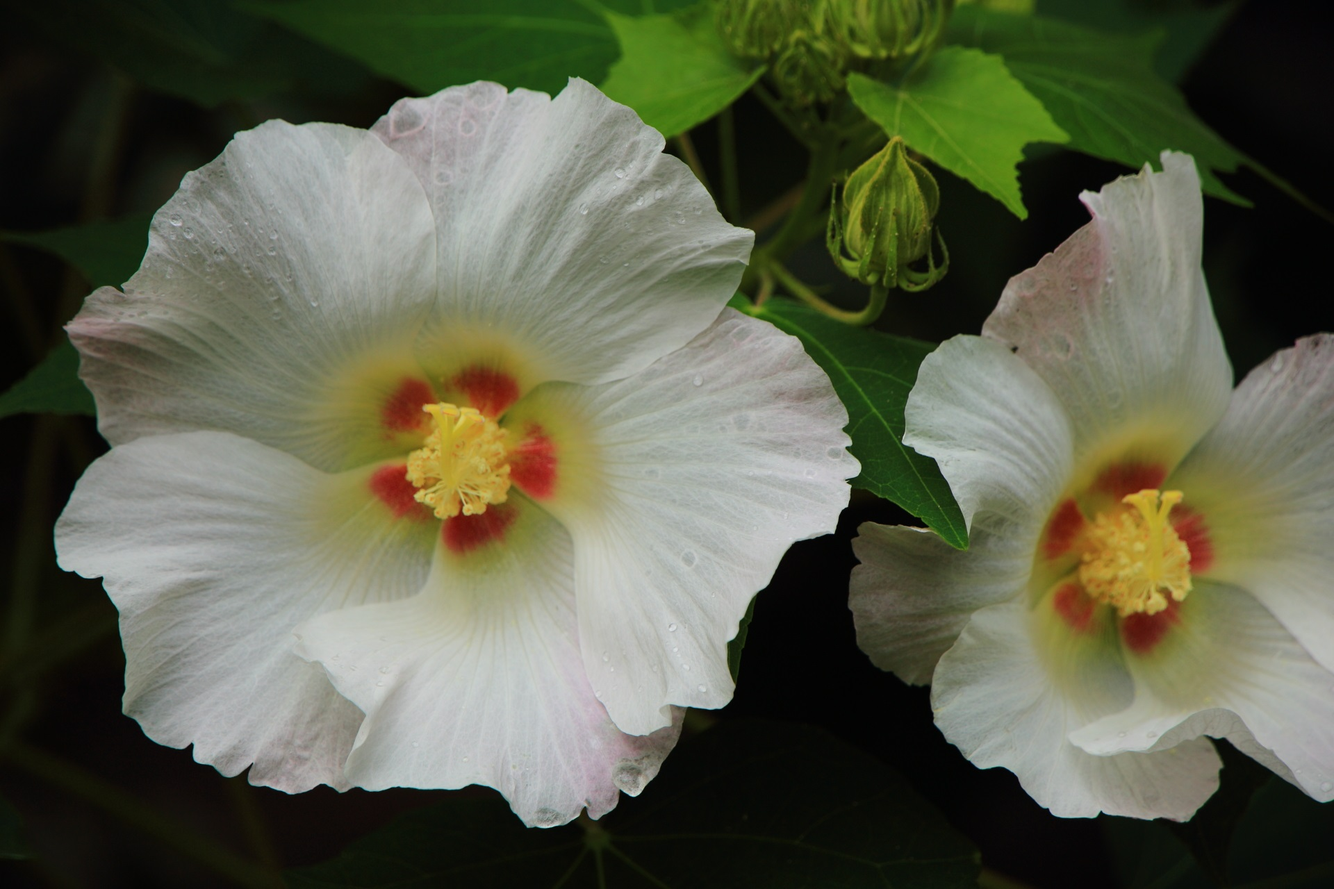 爽やかに咲き誇る白い芙蓉の花
