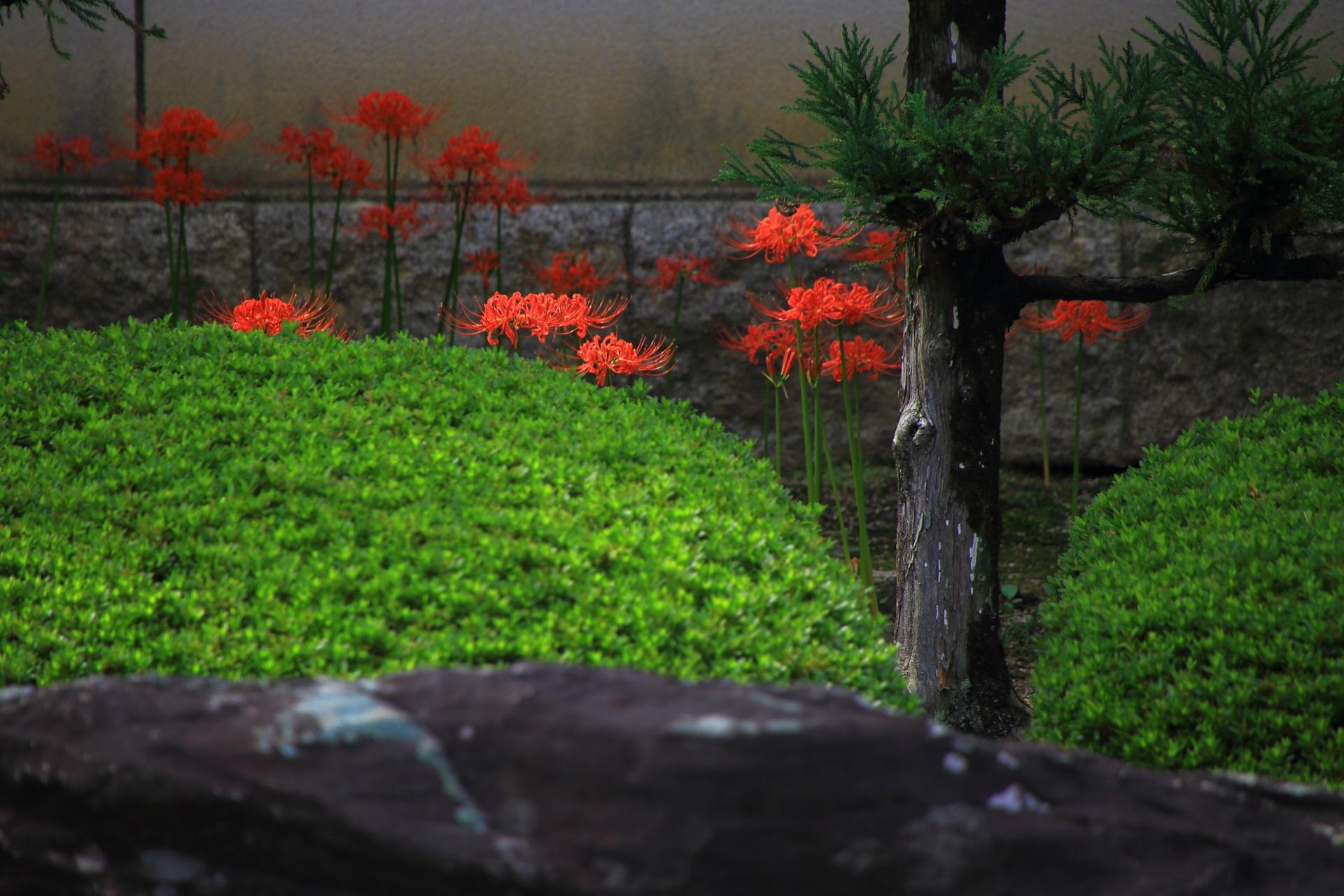 十六羅漢石庭 彼岸花 妙蓮寺 高画質 写真