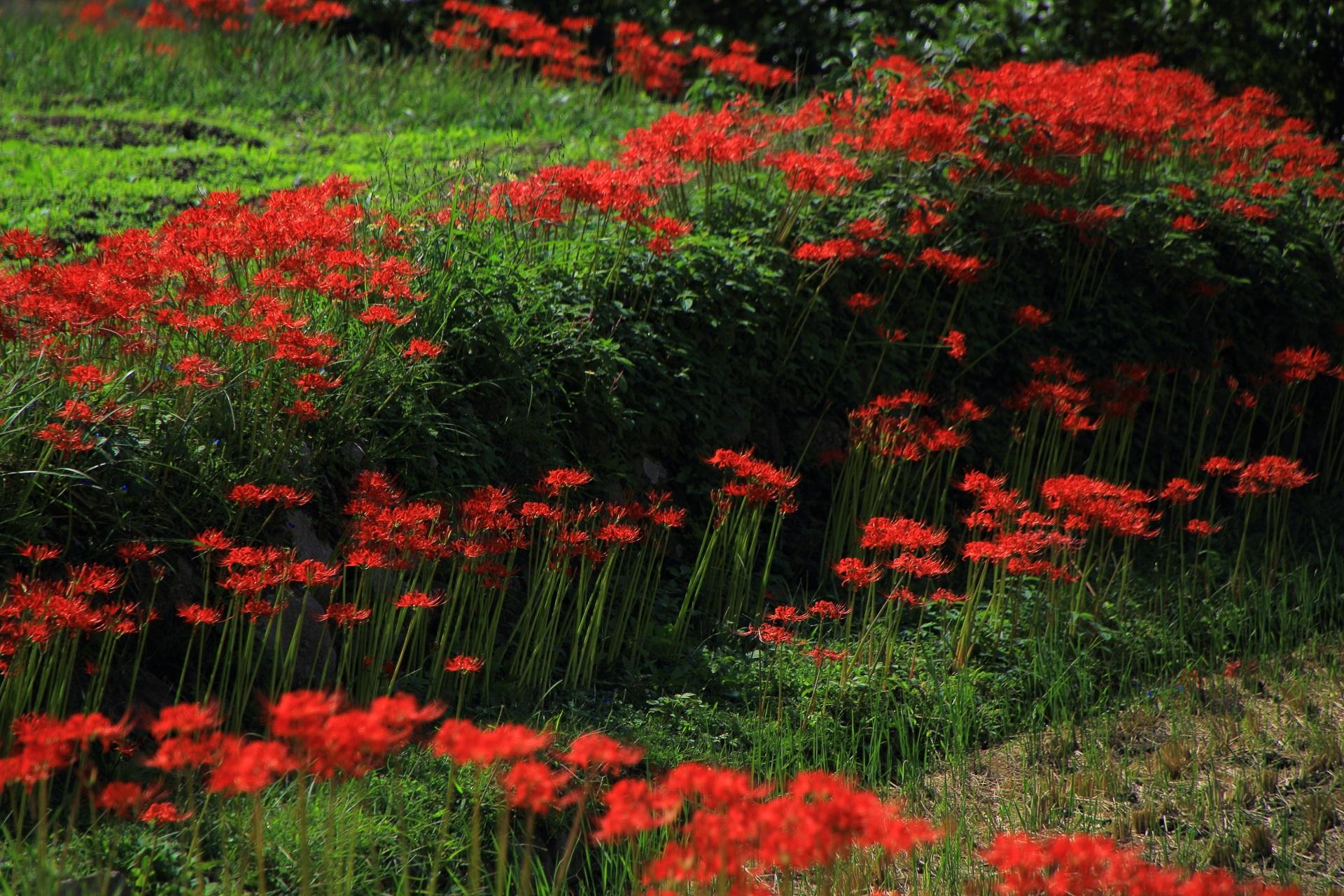大原の田園に輝くように咲く彼岸花