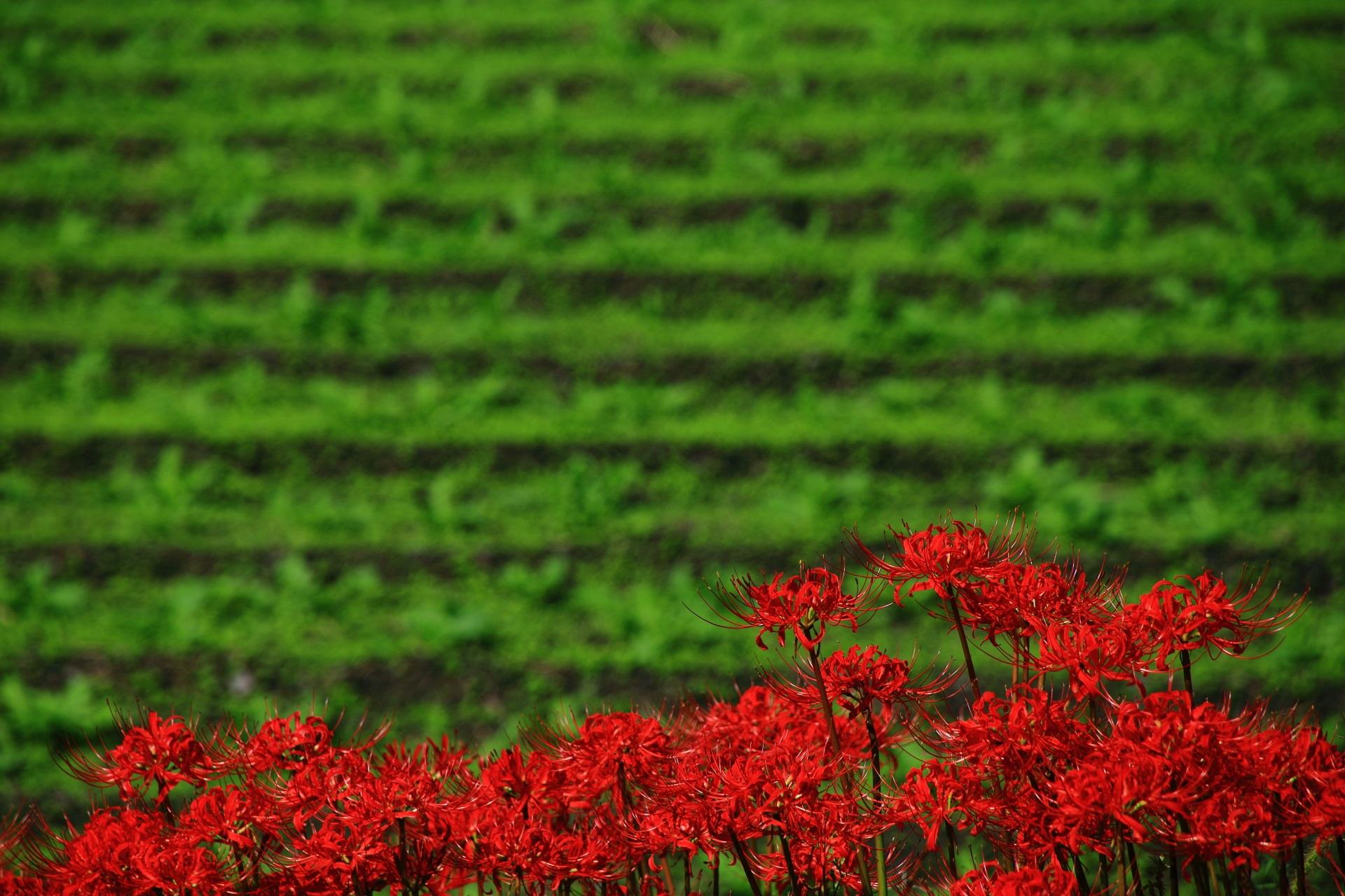大原の里の綺麗な緑の畑を背景にした真っ赤な彼岸花