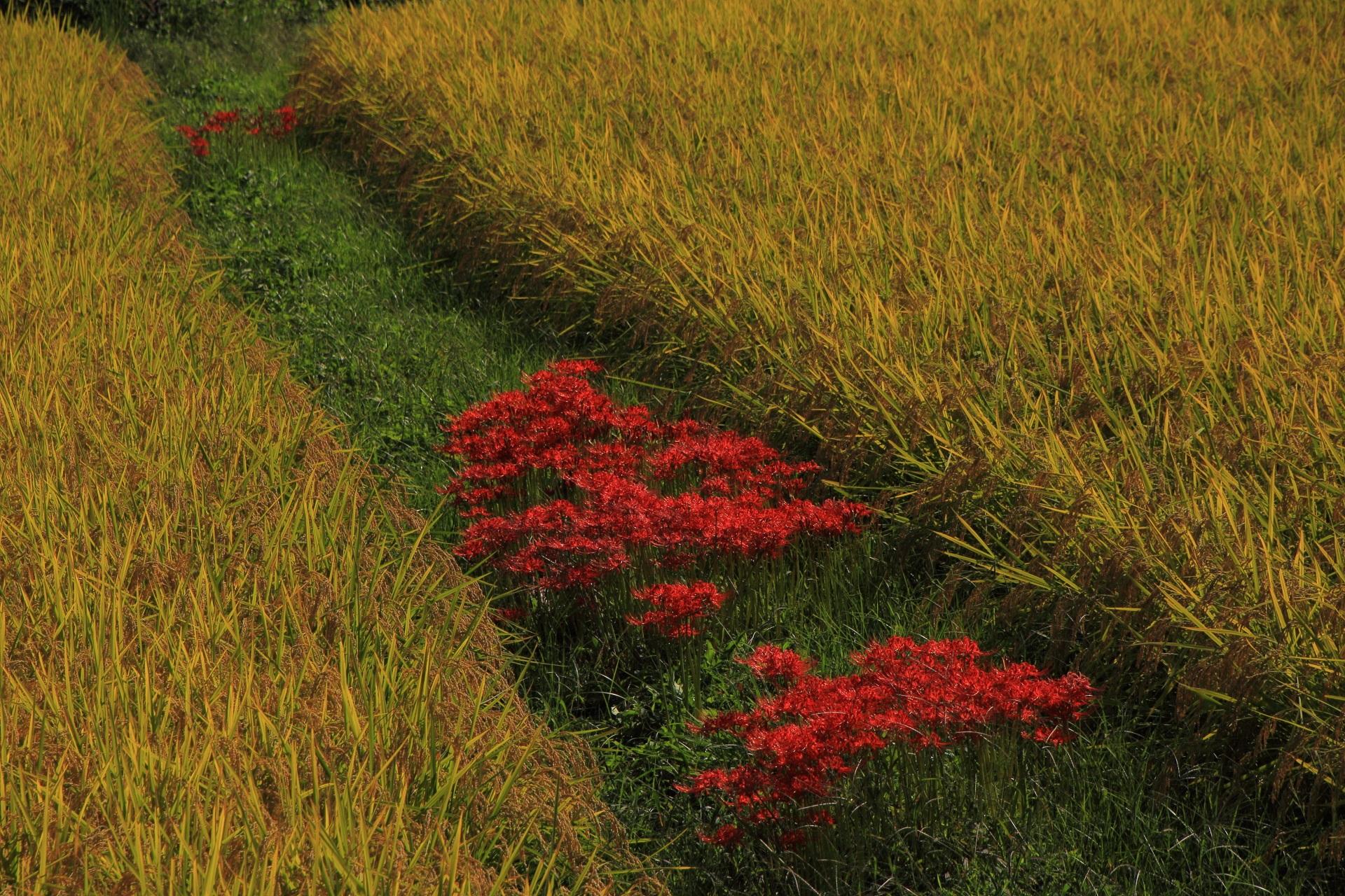 嵯峨野の収穫前の田んぼと彼岸花