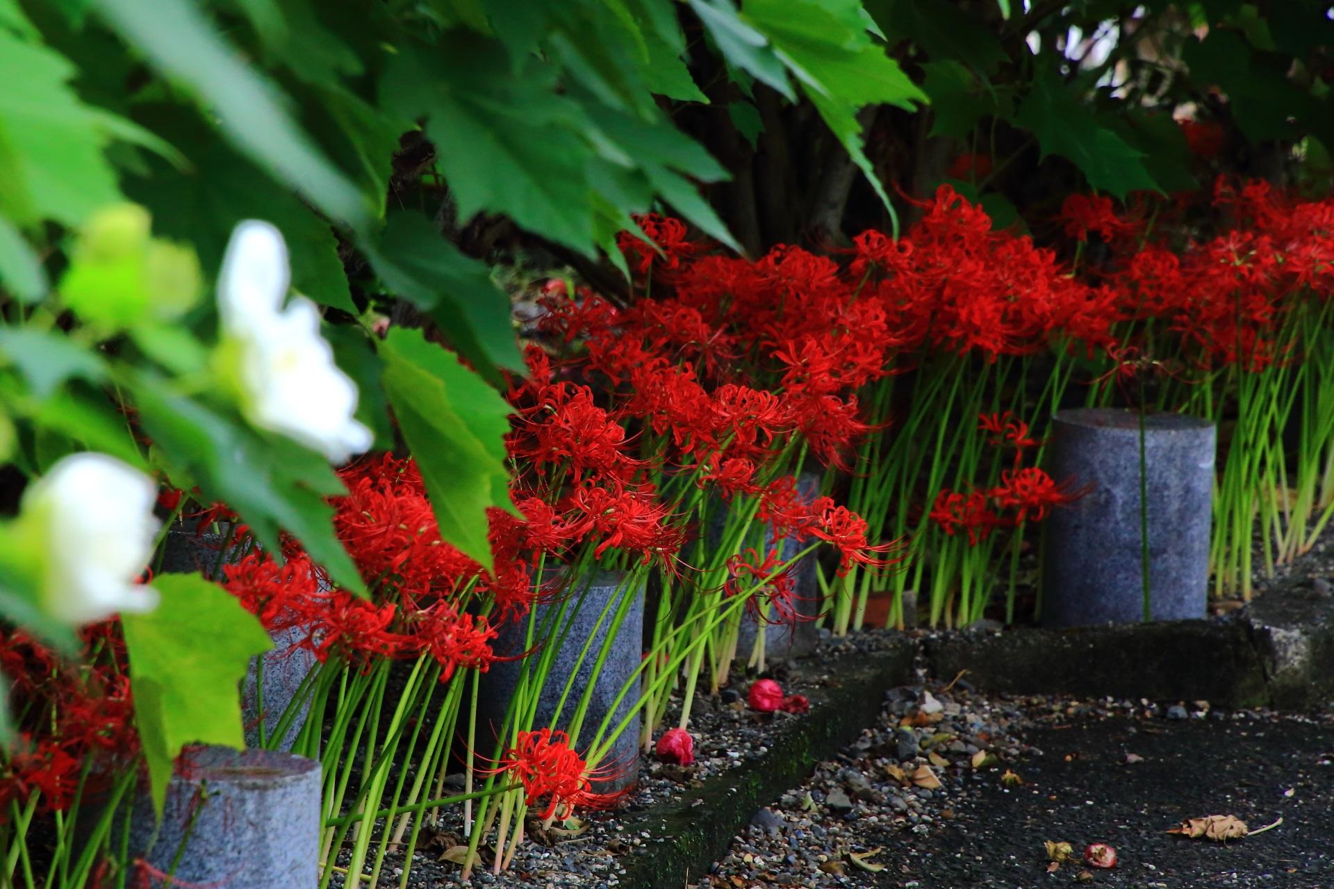 びっしりと咲きそろった妙蓮寺の美しい彼岸花