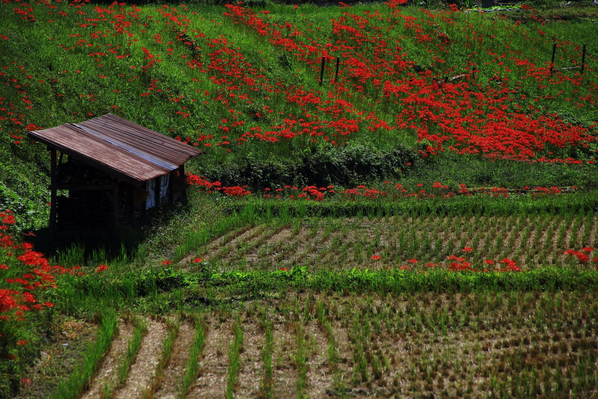 トタン屋根の建物が良い味を出して演出する鮮やかな彼岸花