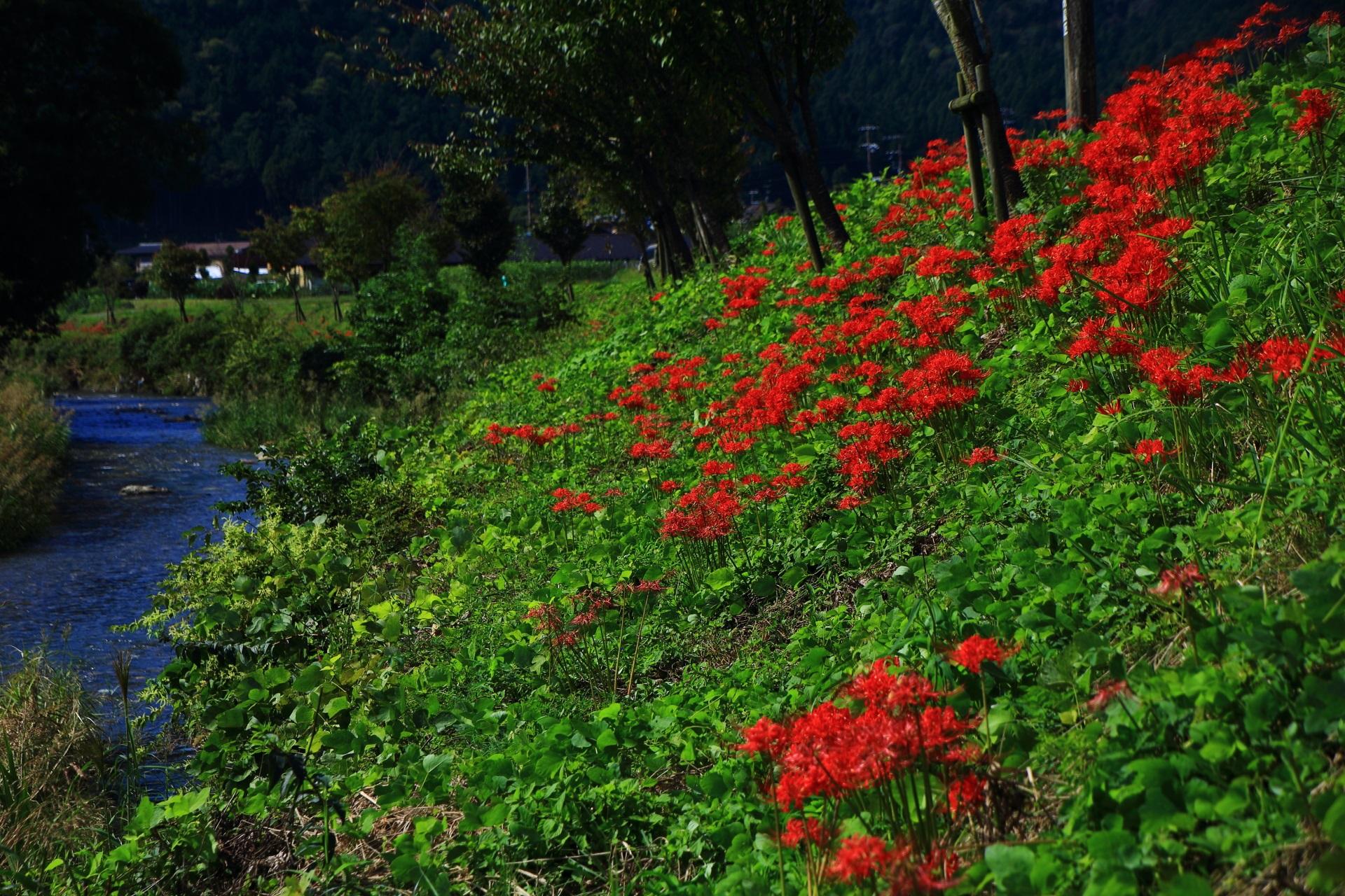 大原の里の高野川沿いの彼岸花