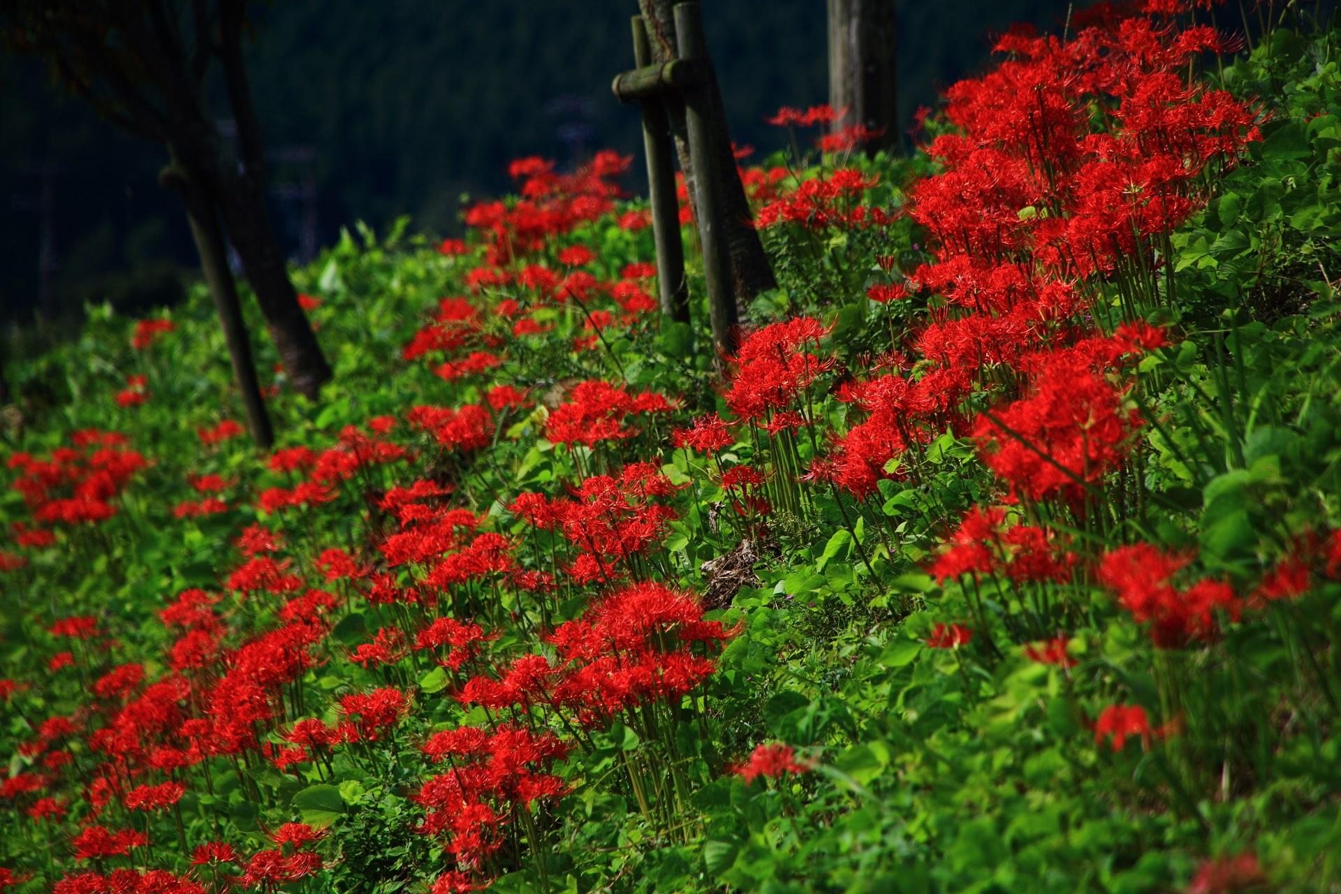 大原の桜井の径(さくらいのみち)の彼岸花
