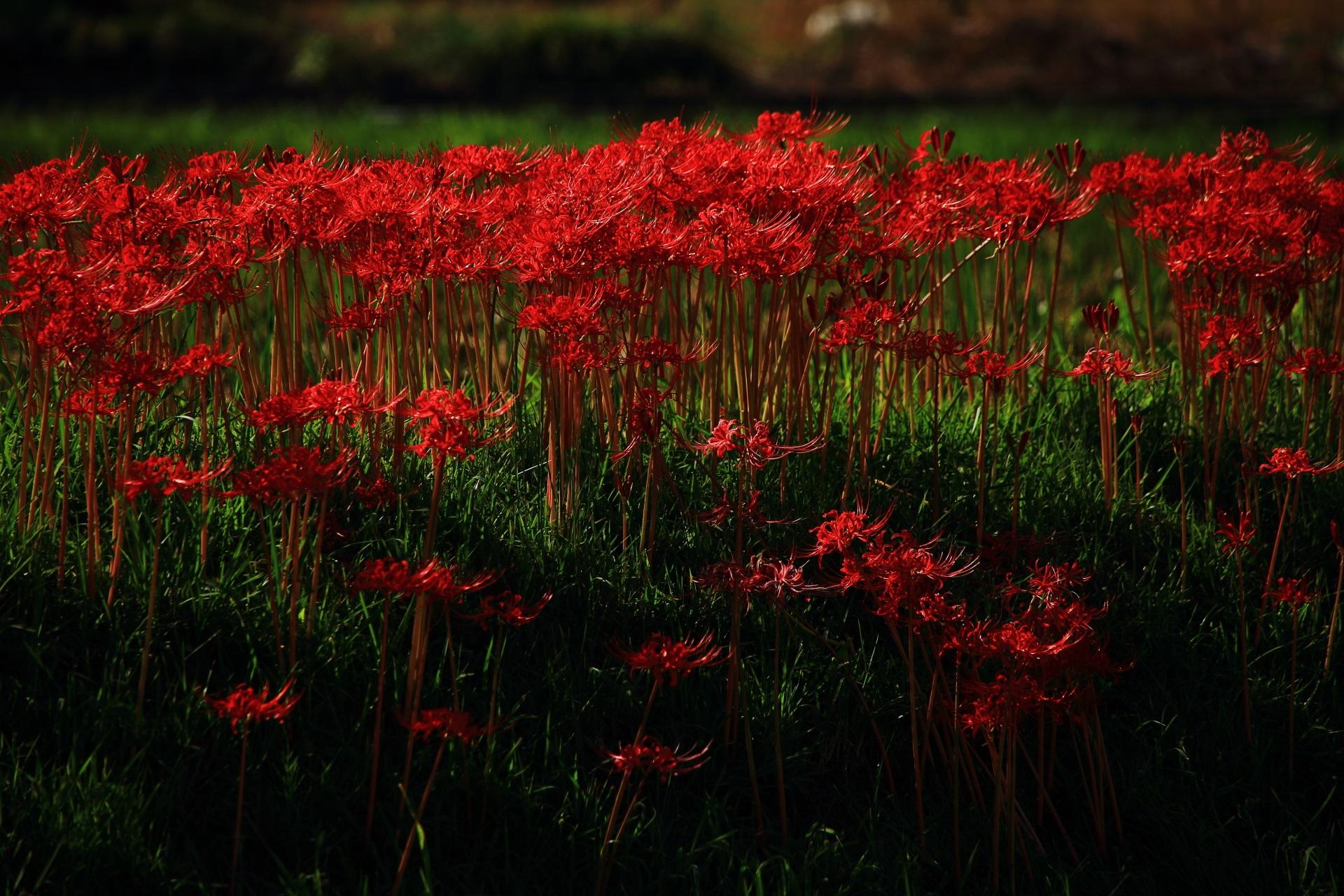 北嵯峨の見事な赤色の彼岸花