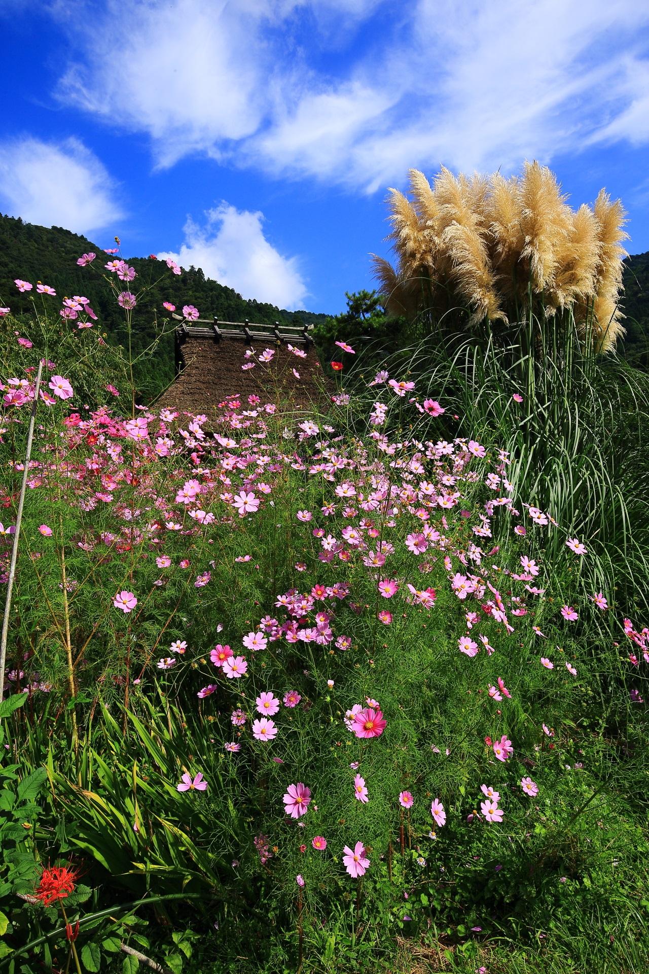 かやぶきの里の素晴らしいコスモスや花々と初秋の情景