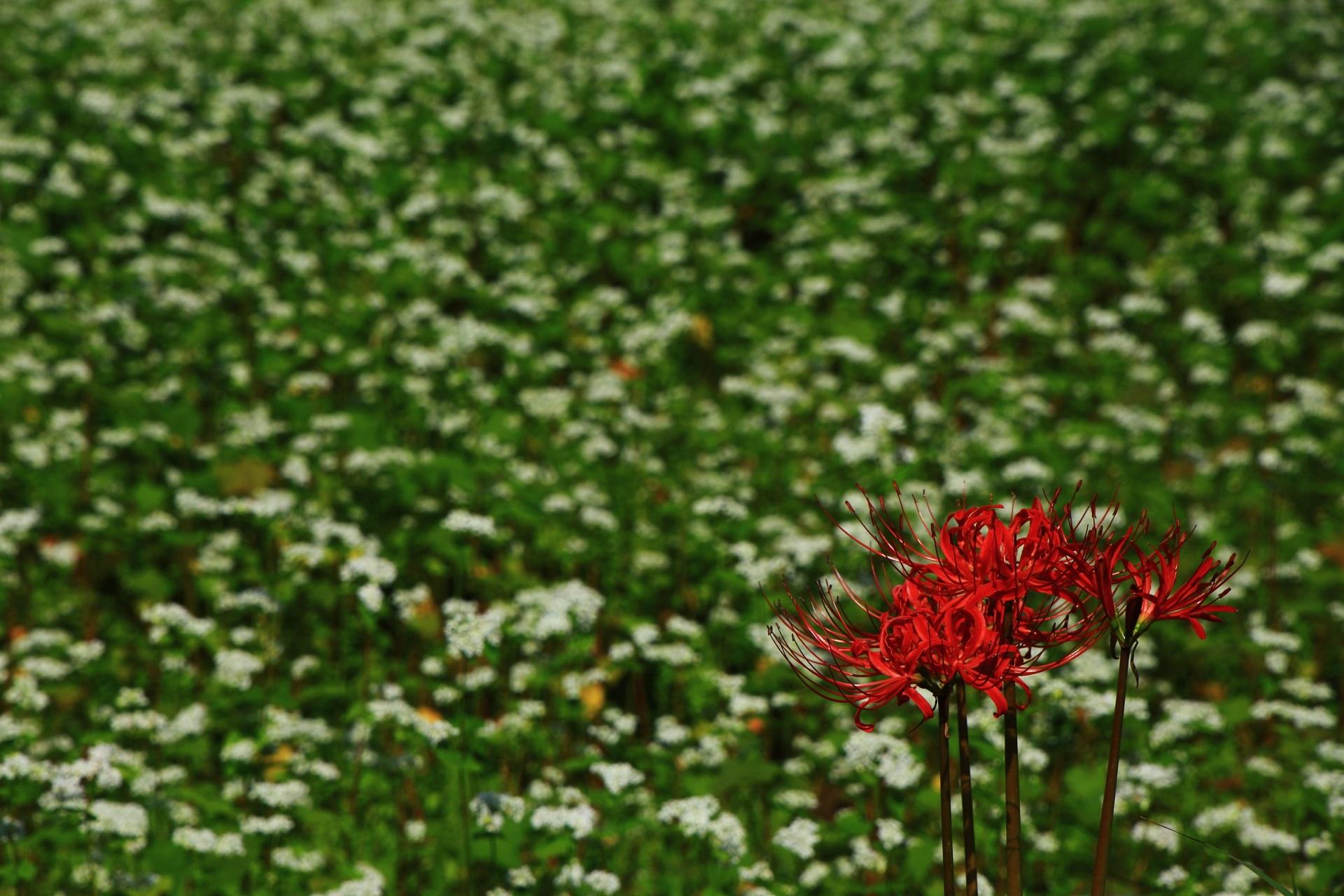 かやぶきの里の鮮やかな赤い彼岸花と華やかな白い蕎麦の花