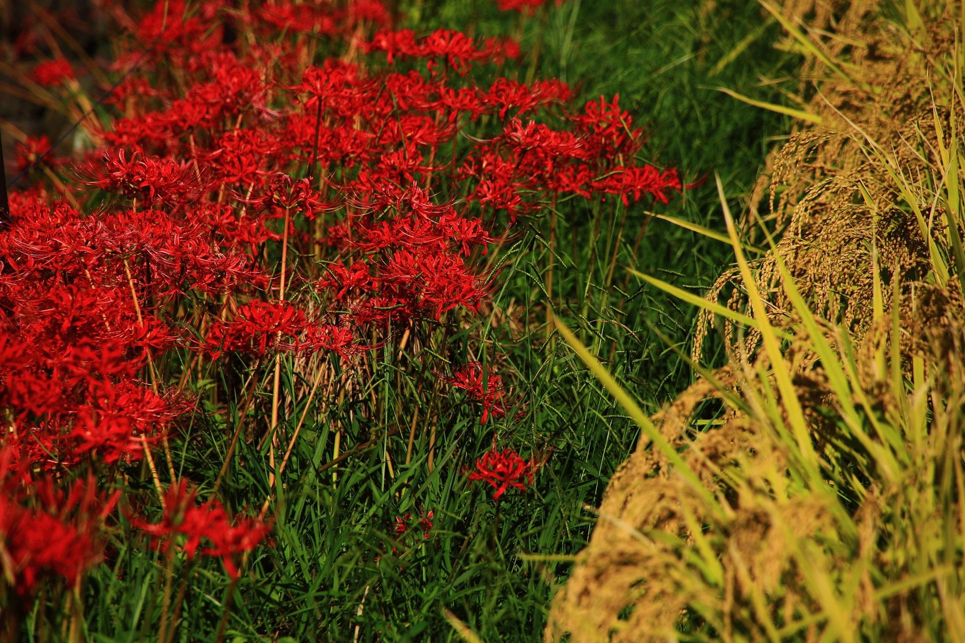 嵯峨野の収穫前の稲と彼岸花