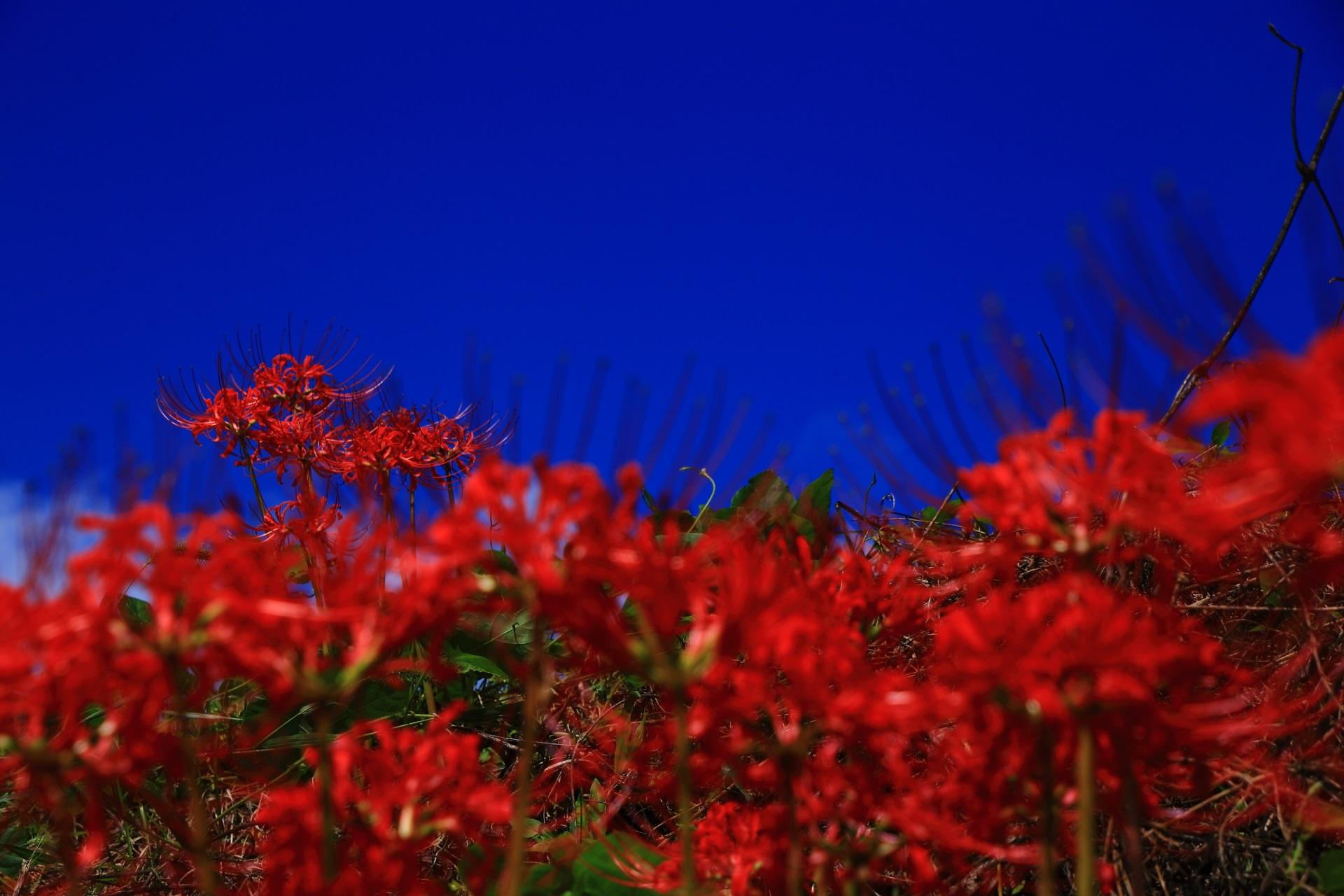 さわやかな初秋の雰囲気が漂う彼岸花咲く大原の里