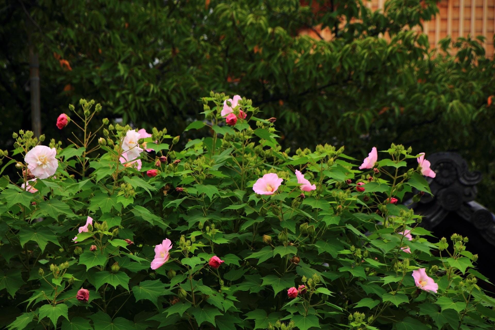緑の葉の上で揺らめくピンクの芙蓉の花