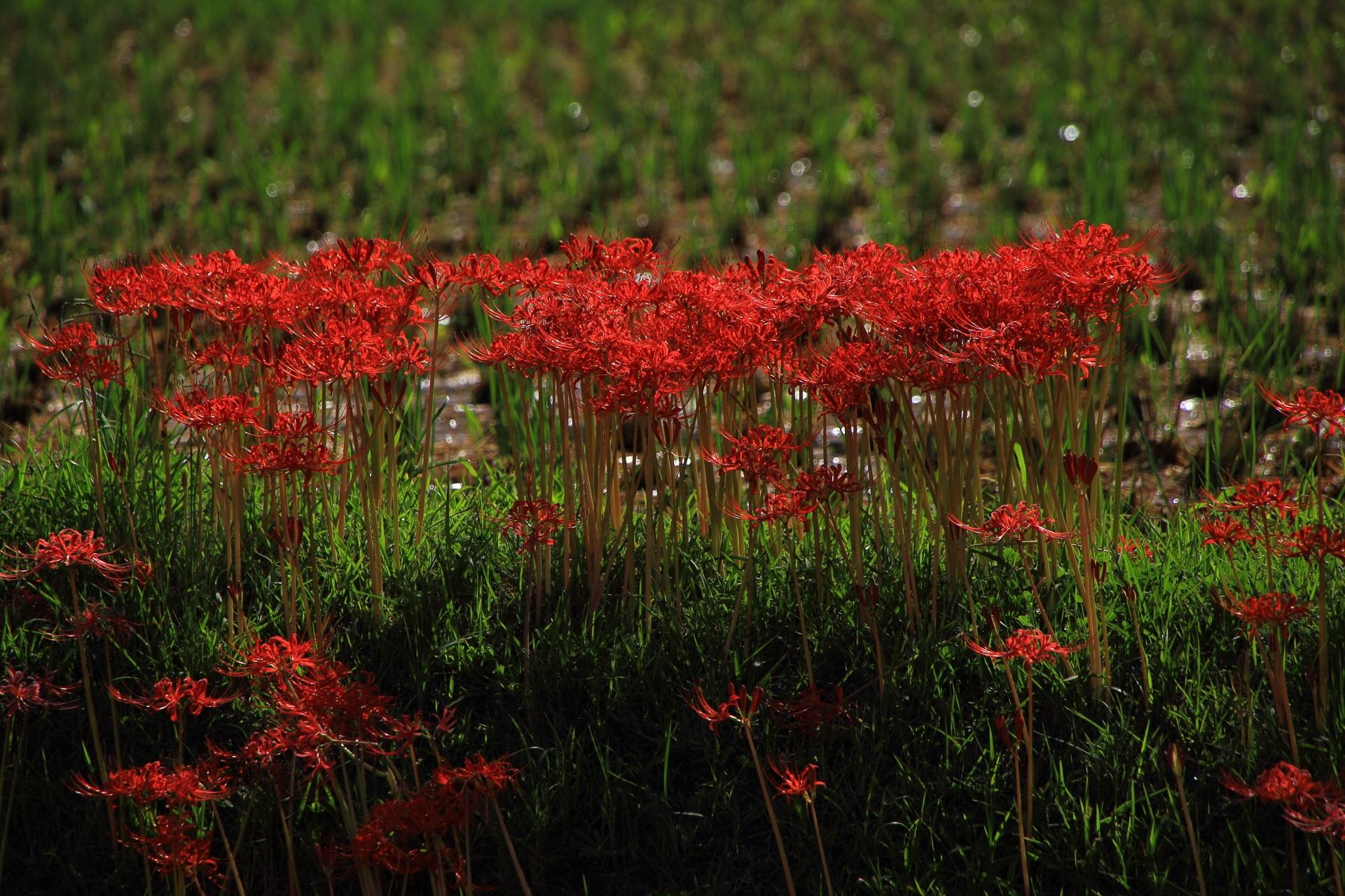 曼珠沙華(まんじゅしゃげ)という別名もある彼岸花