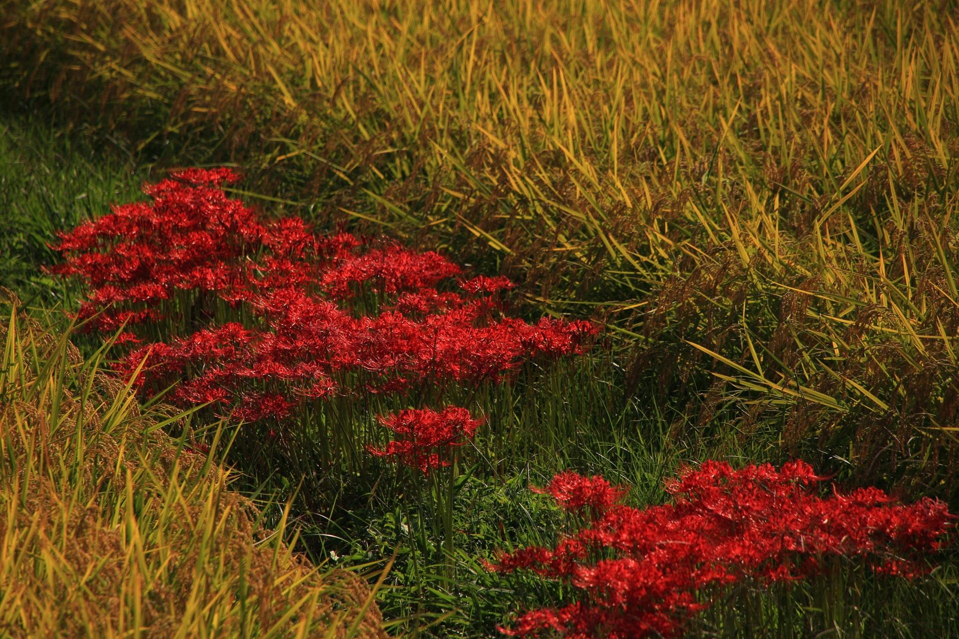 北嵯峨の金色の田んぼの稲の中に咲く真っ赤な彼岸花