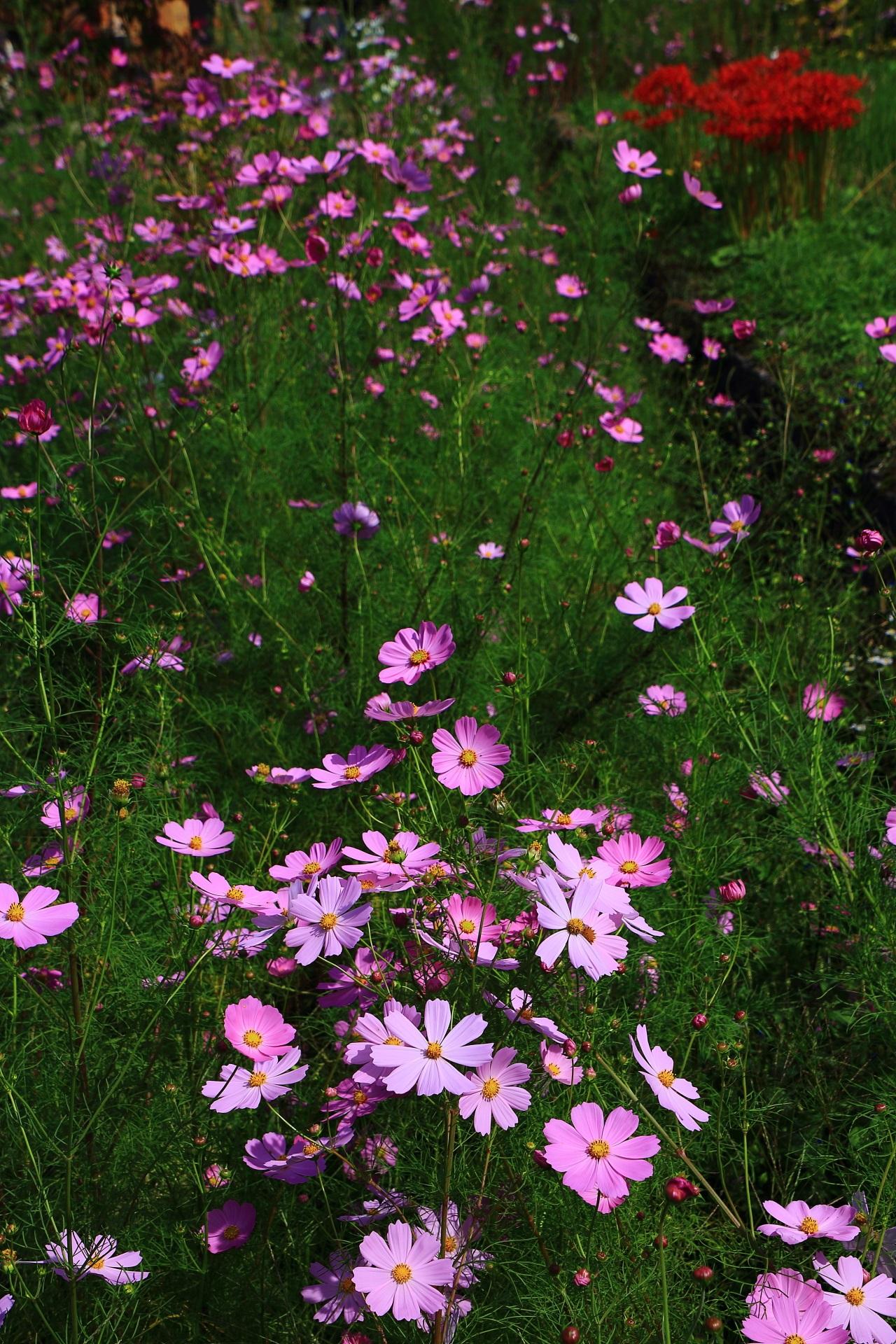 薄紫のコスモスと赤い彼岸花と緑の綺麗な色合い
