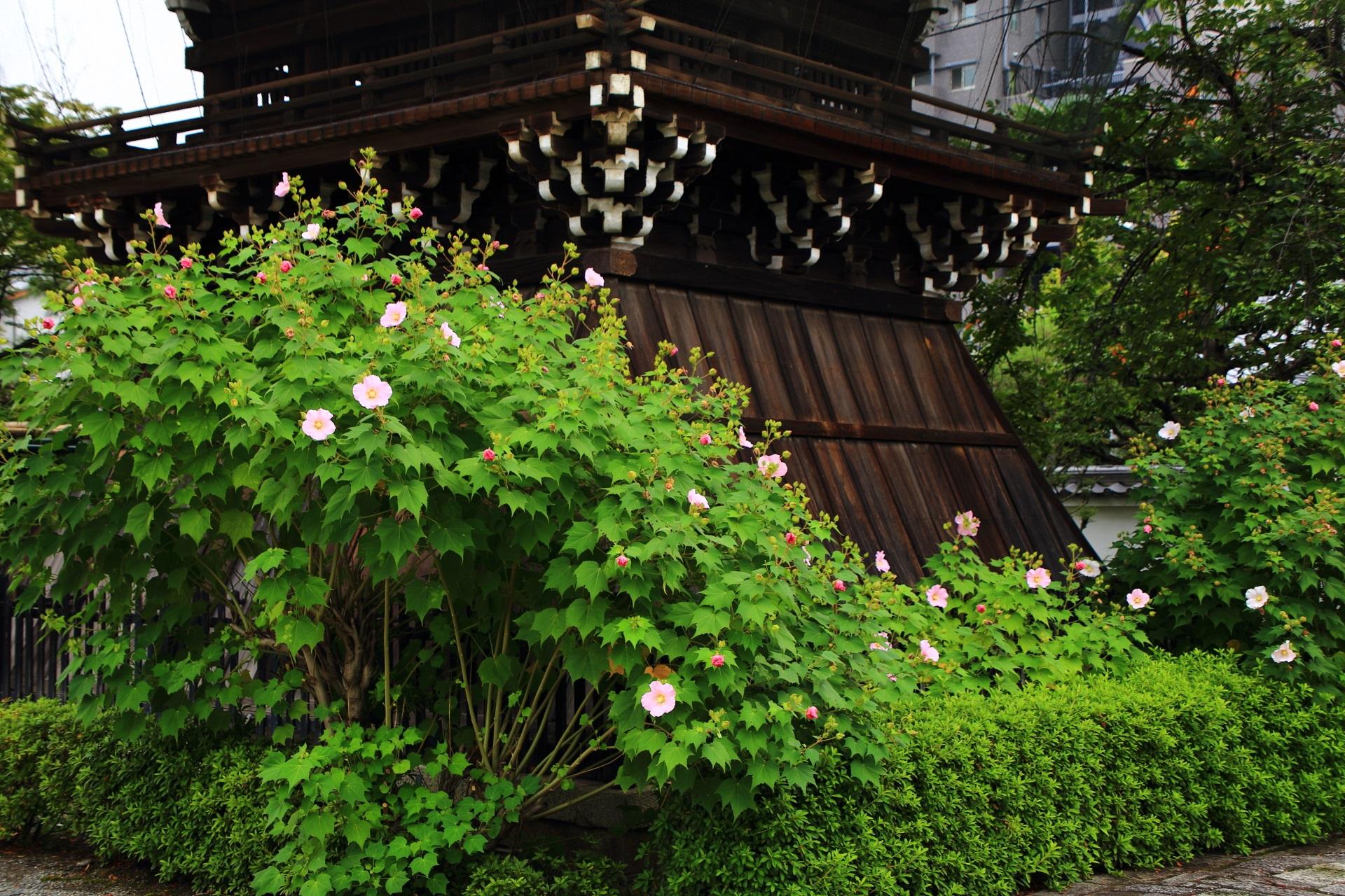 京都の芙蓉の名所の妙蓮寺