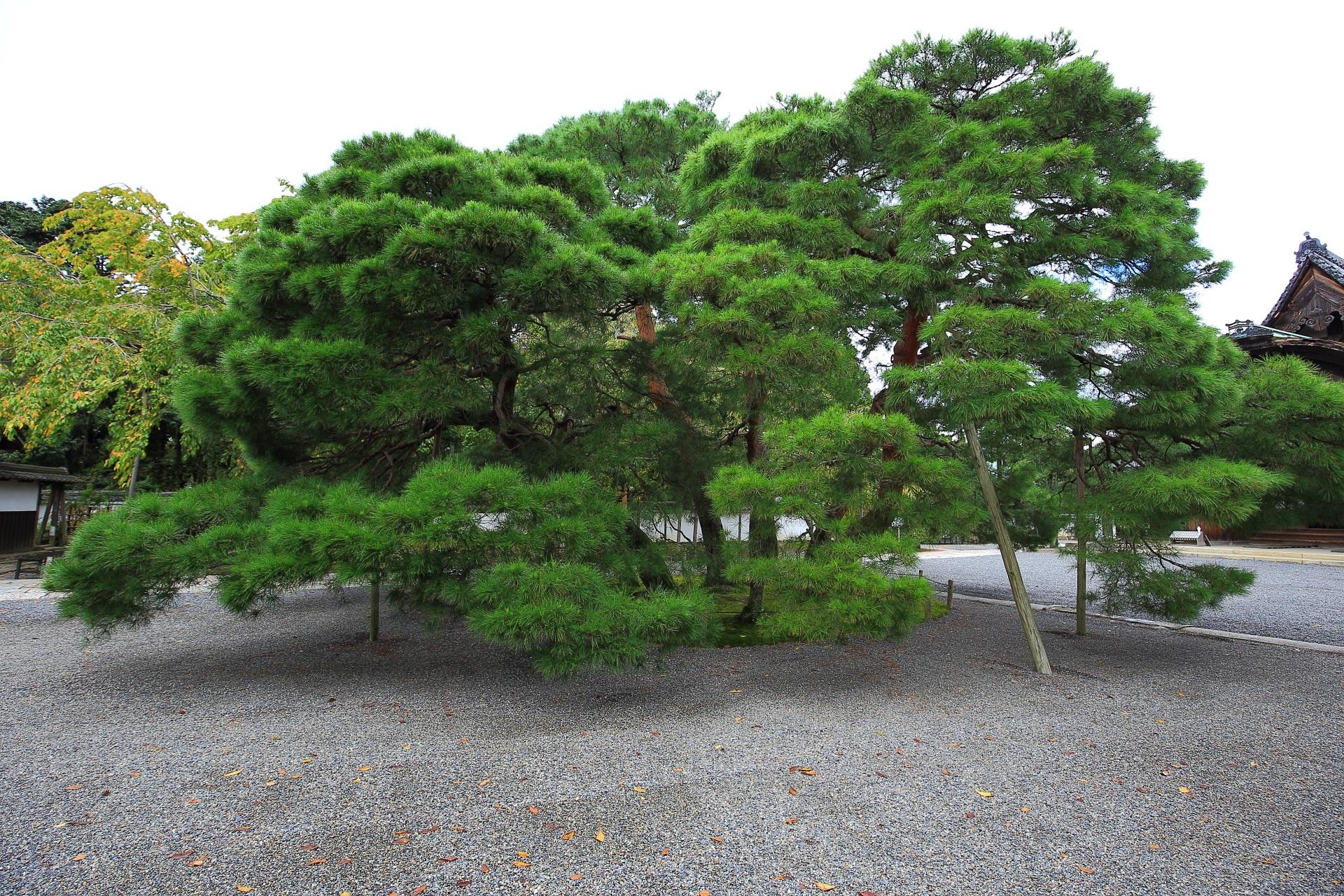 玄関前の松の木