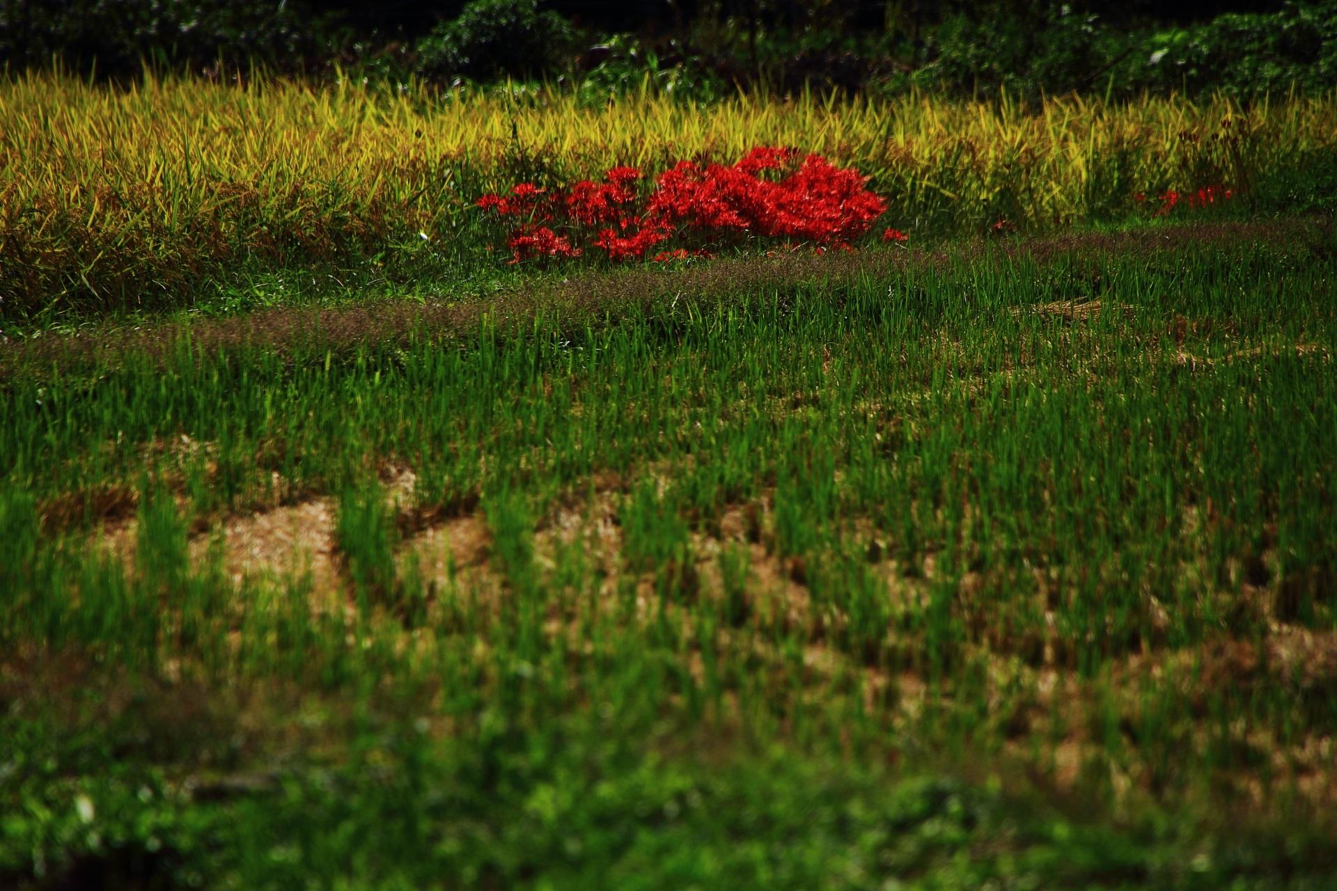 真っ赤なので遠目からでも目立つ田んぼや畑の一角に咲く彼岸花