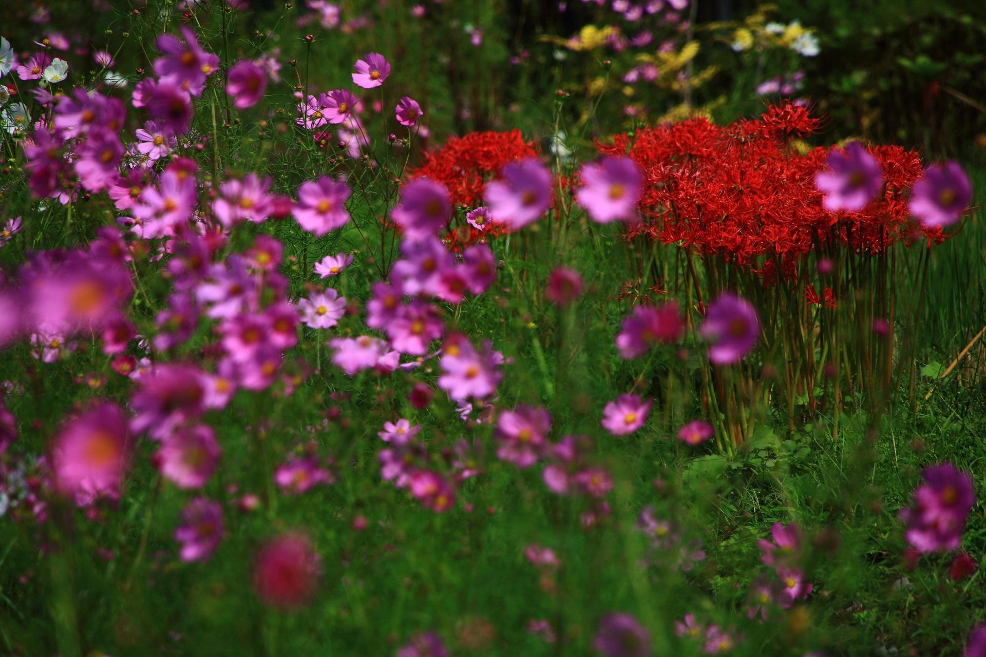 真っ赤な彼岸花と薄紫のコスモスとのコラボ