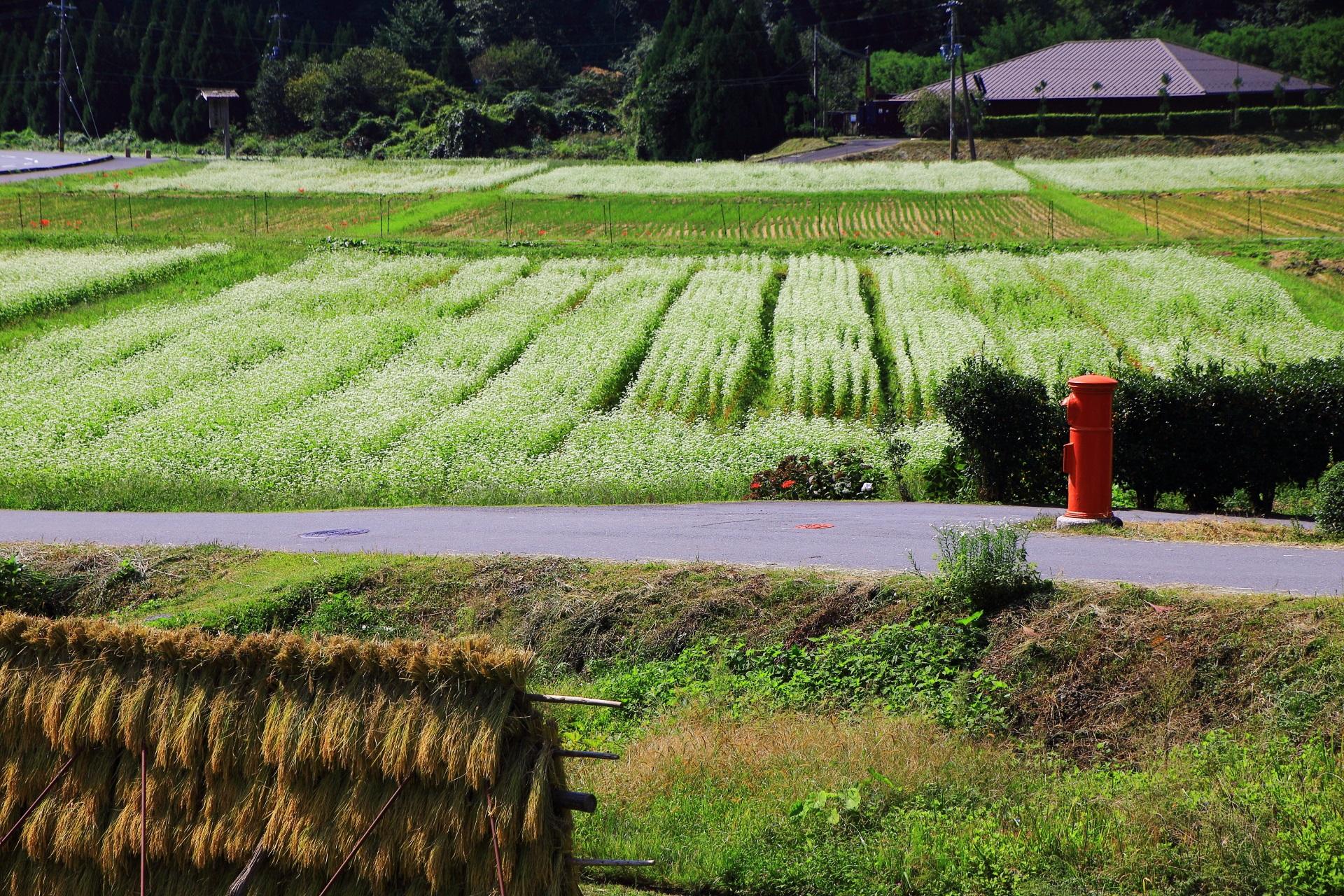 美山町の北村に広がる一面の白い蕎麦の花