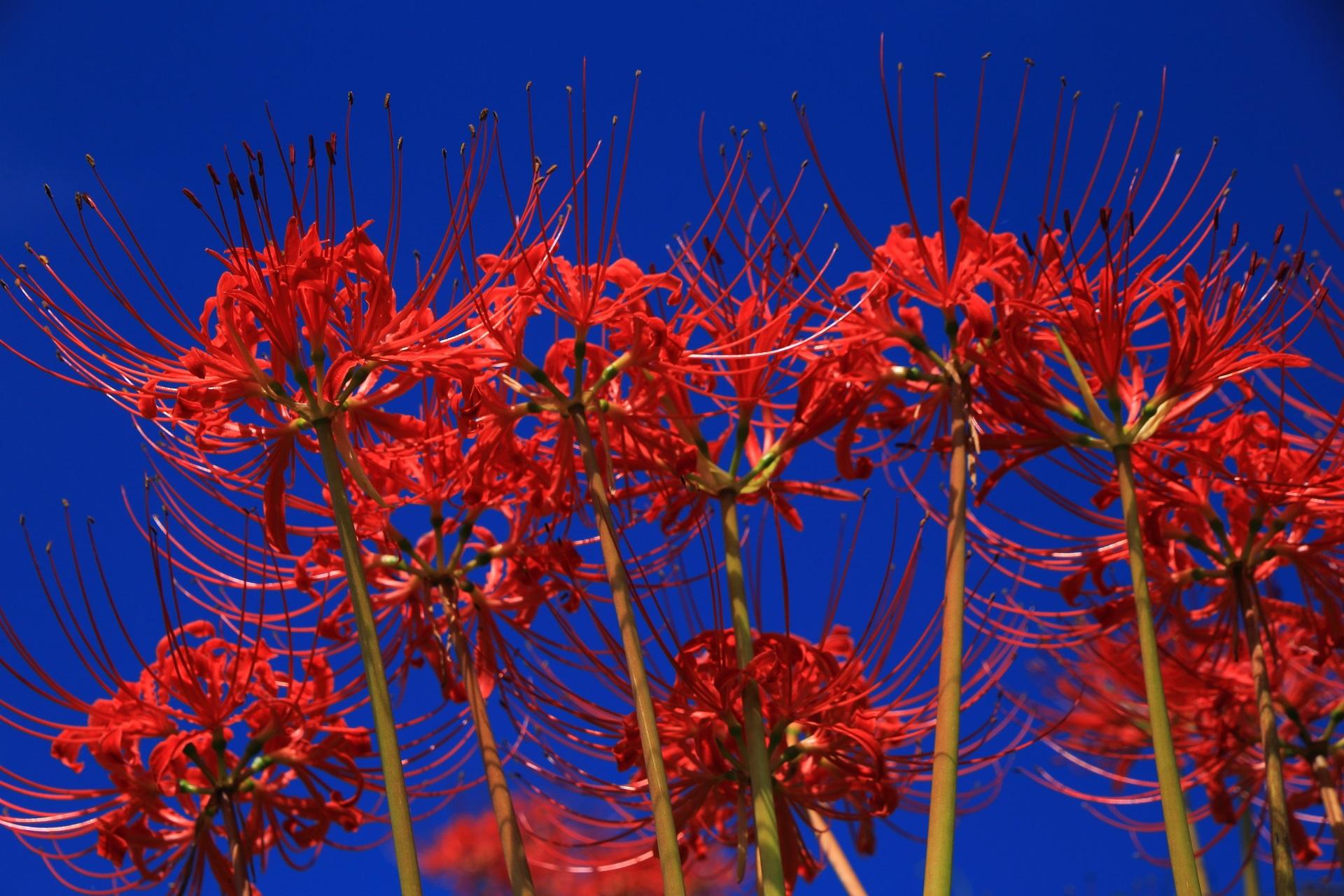 青空と豪快に咲く赤い彼岸花の美しいコントラスト