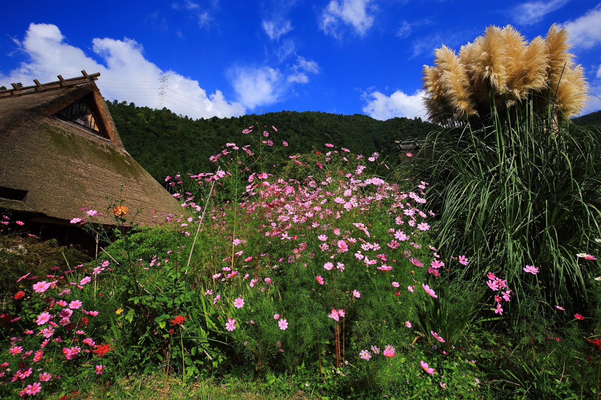 美山町 コスモス かやぶきの里の初秋の彩り