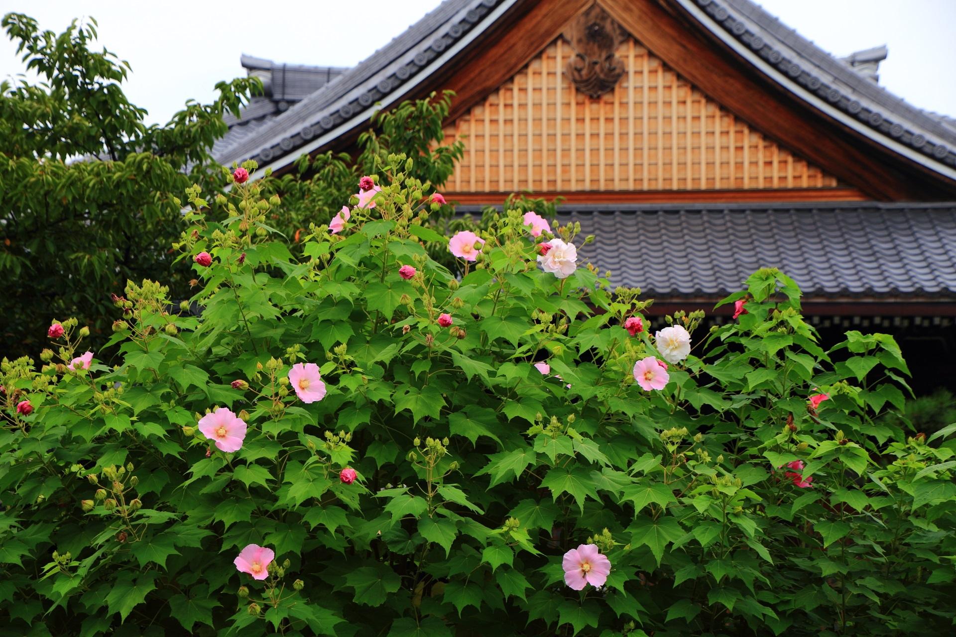 妙蓮寺 芙蓉 夏の終わりを彩る色とりどりの花