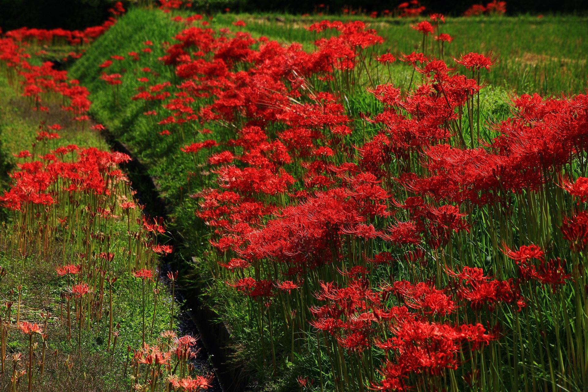 嵯峨野 彼岸花 長閑な田園風景を彩る鮮やかな赤