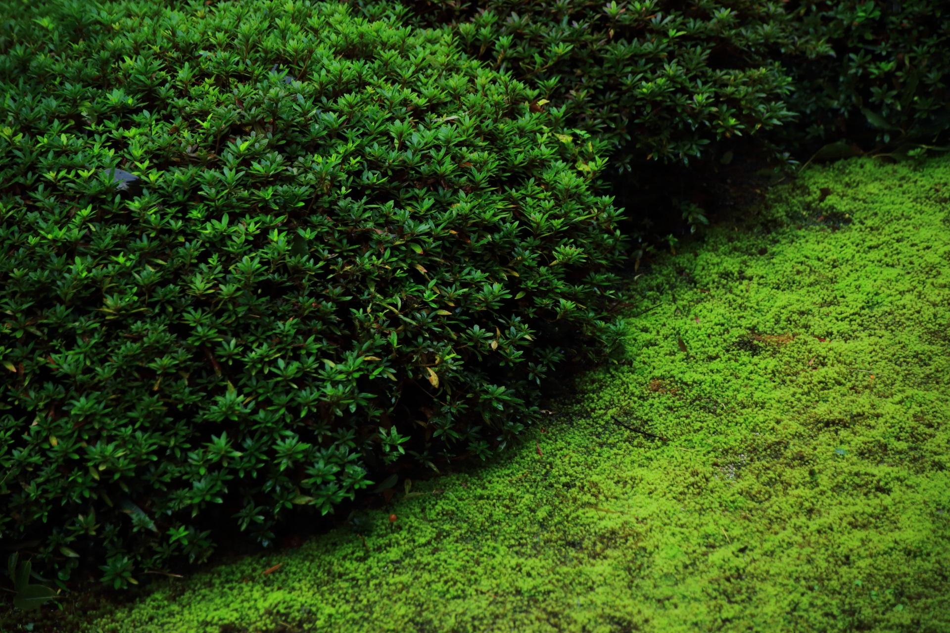 深い緑のサツキの刈り込みと淡い緑の苔