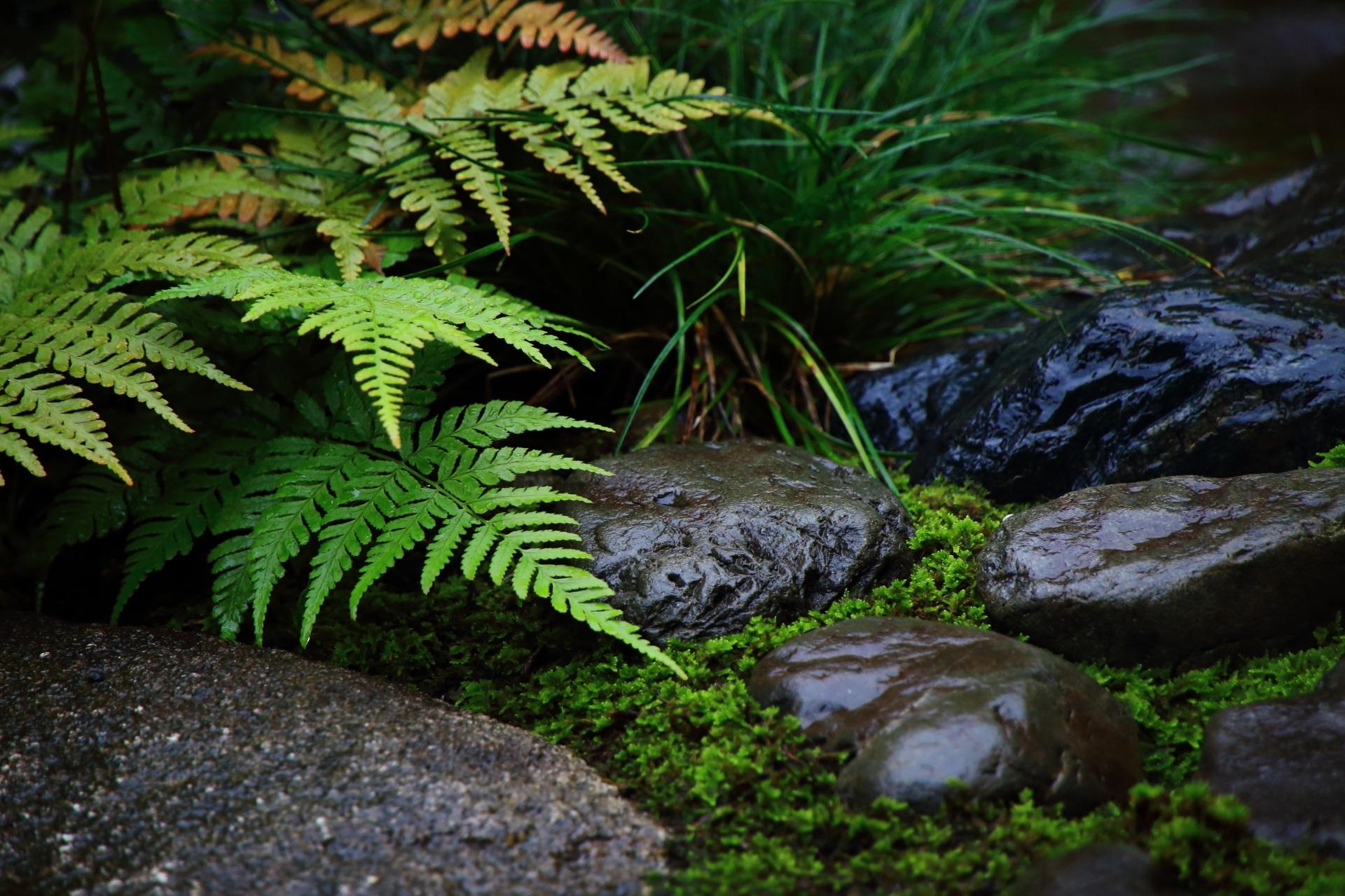 観智院の茶庭の雨にぬれて綺麗な石とシダ