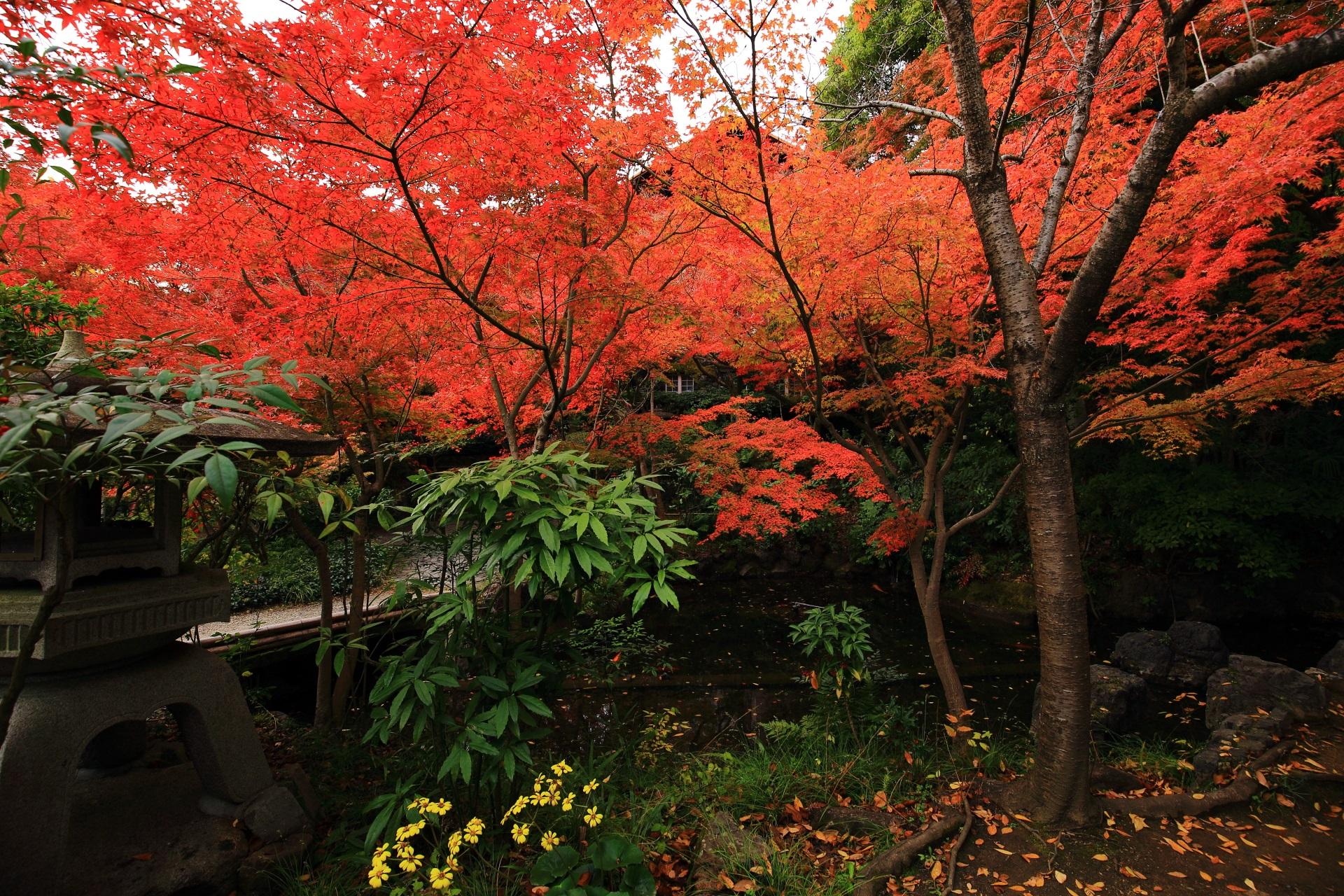 鮮やかな紅葉の下で咲く黄色い石蕗(ツワブキ)の花