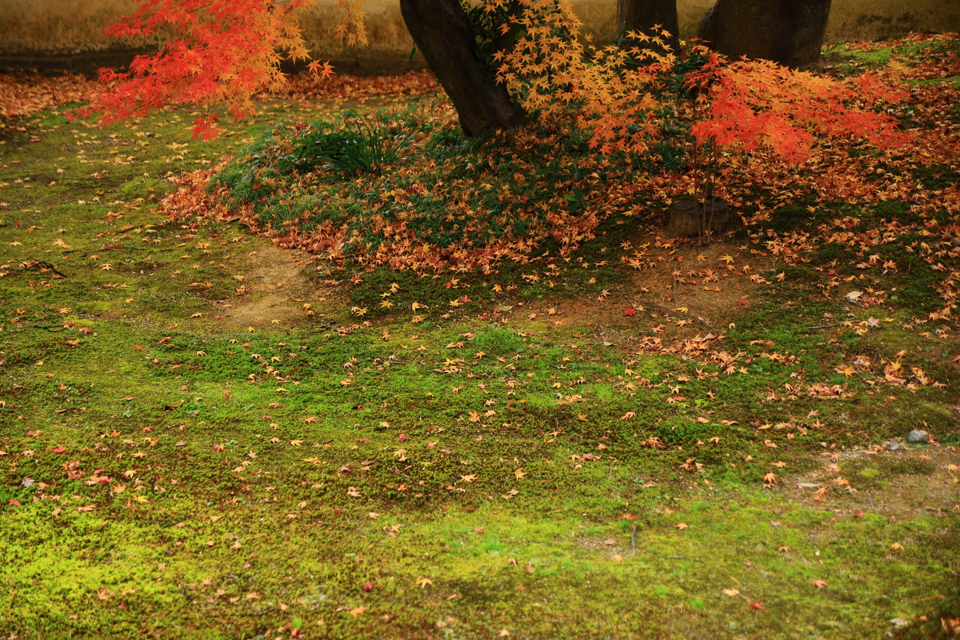 緑の苔を華やぐ可憐な散りもみじ