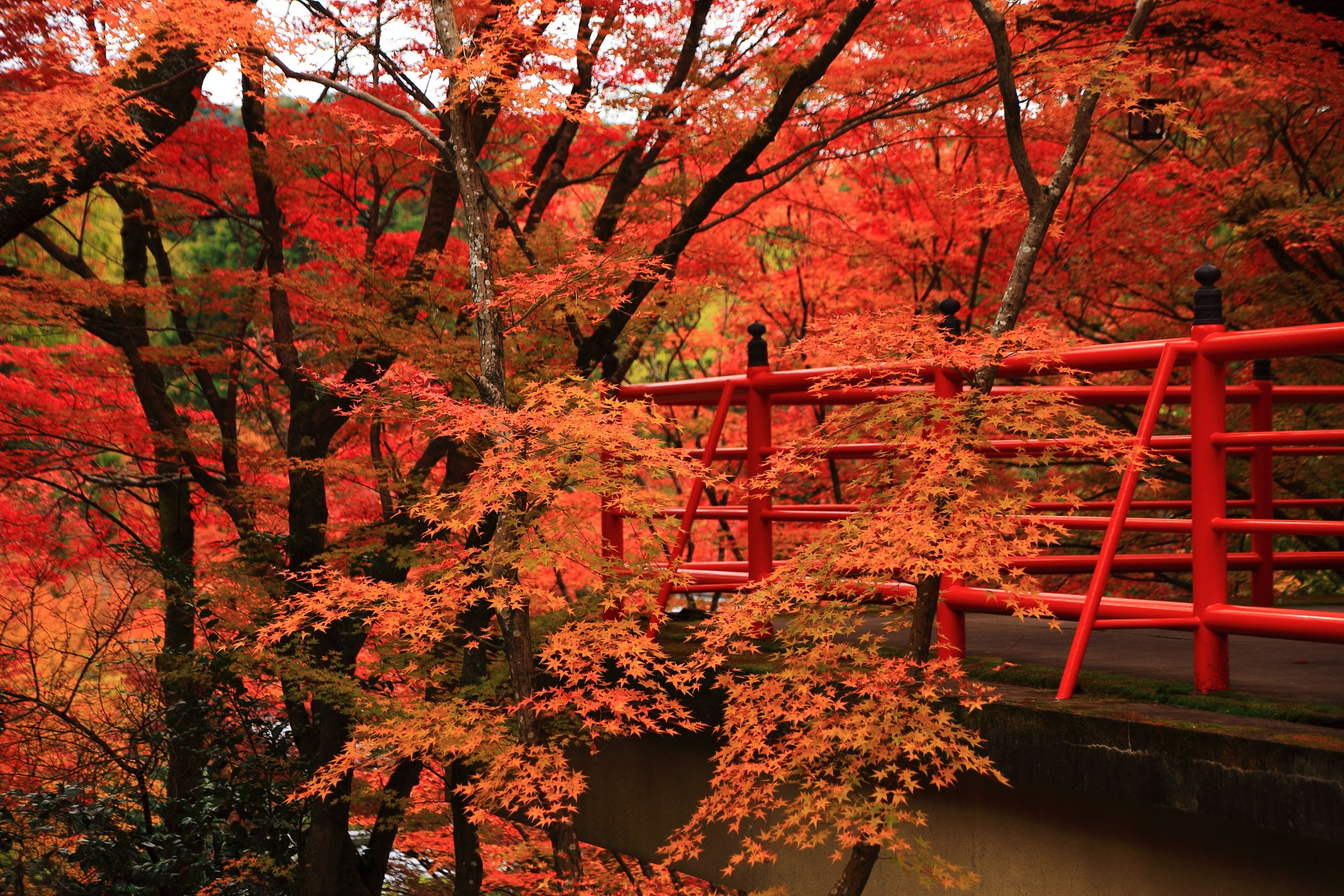 最高の見ごろをむかえた今熊野観音寺の茶所の紅葉