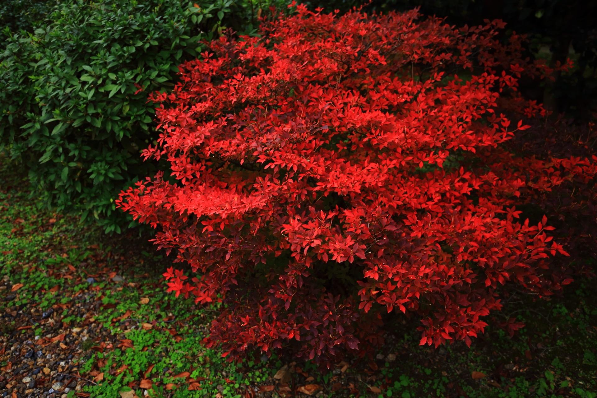 ビビッドな色合いの鮮やかなツツジの紅葉