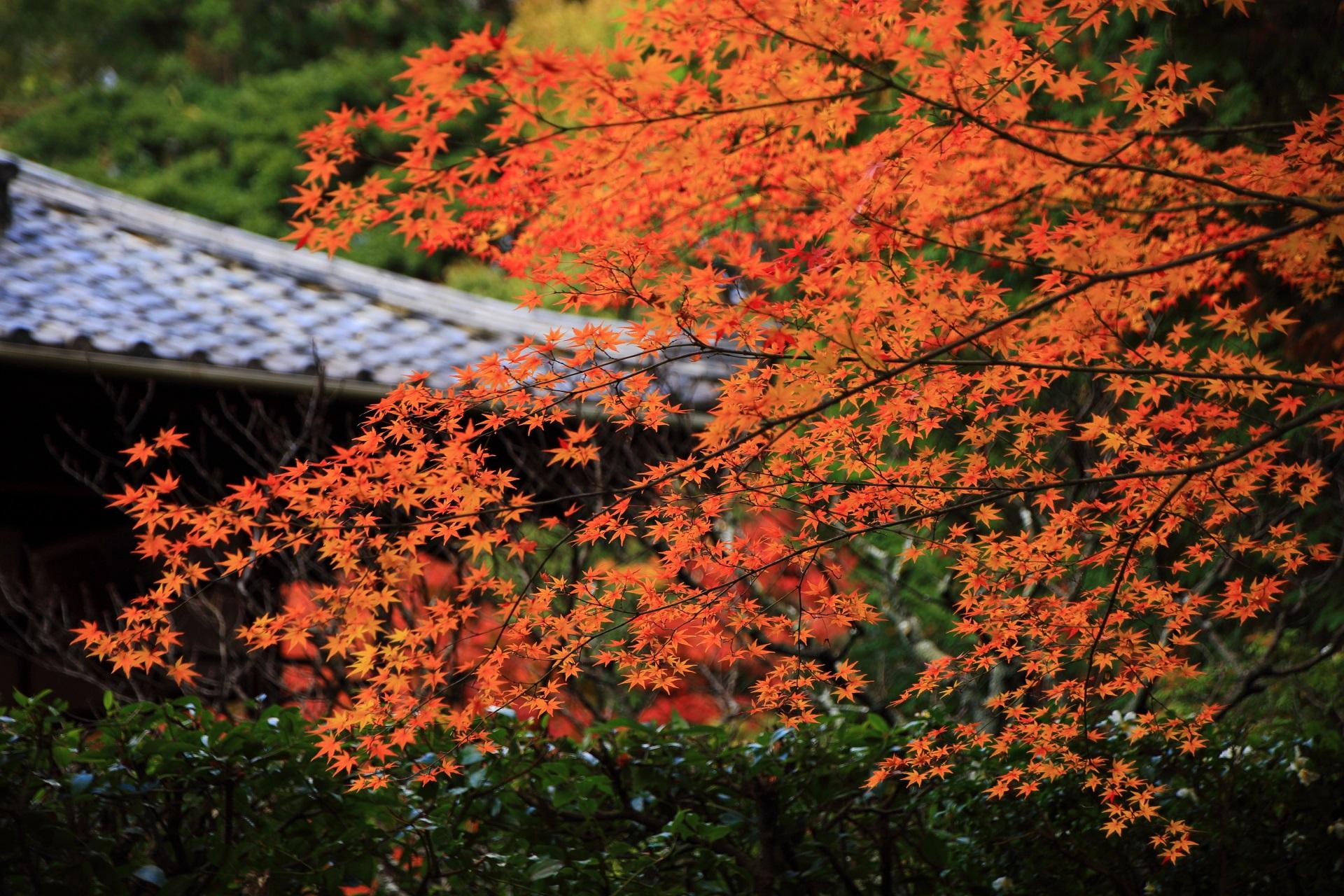 桂春院の秋を彩る見事なオレンジ色の紅葉