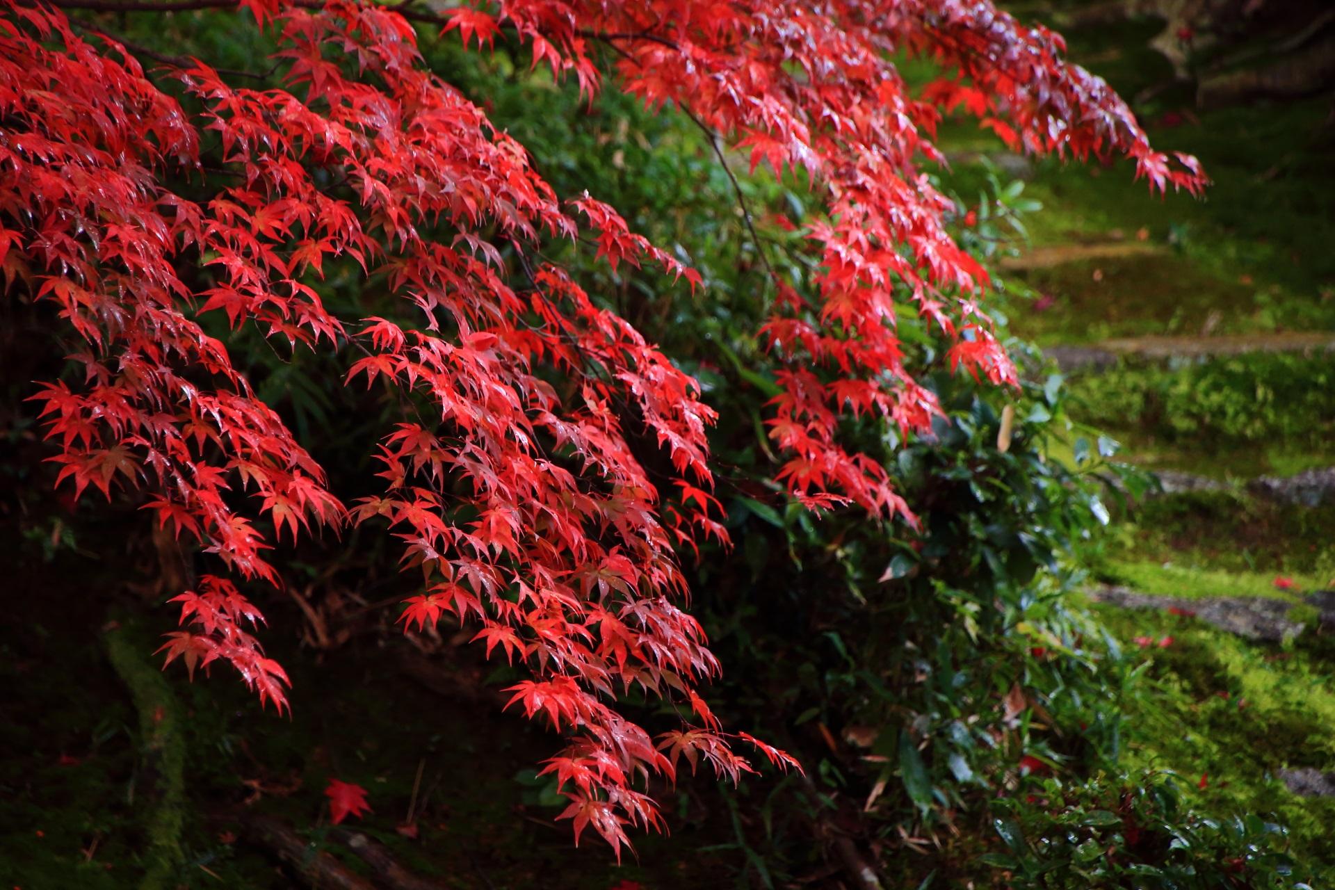 雨に濡れてしっとりとした見事な色づきの紅葉